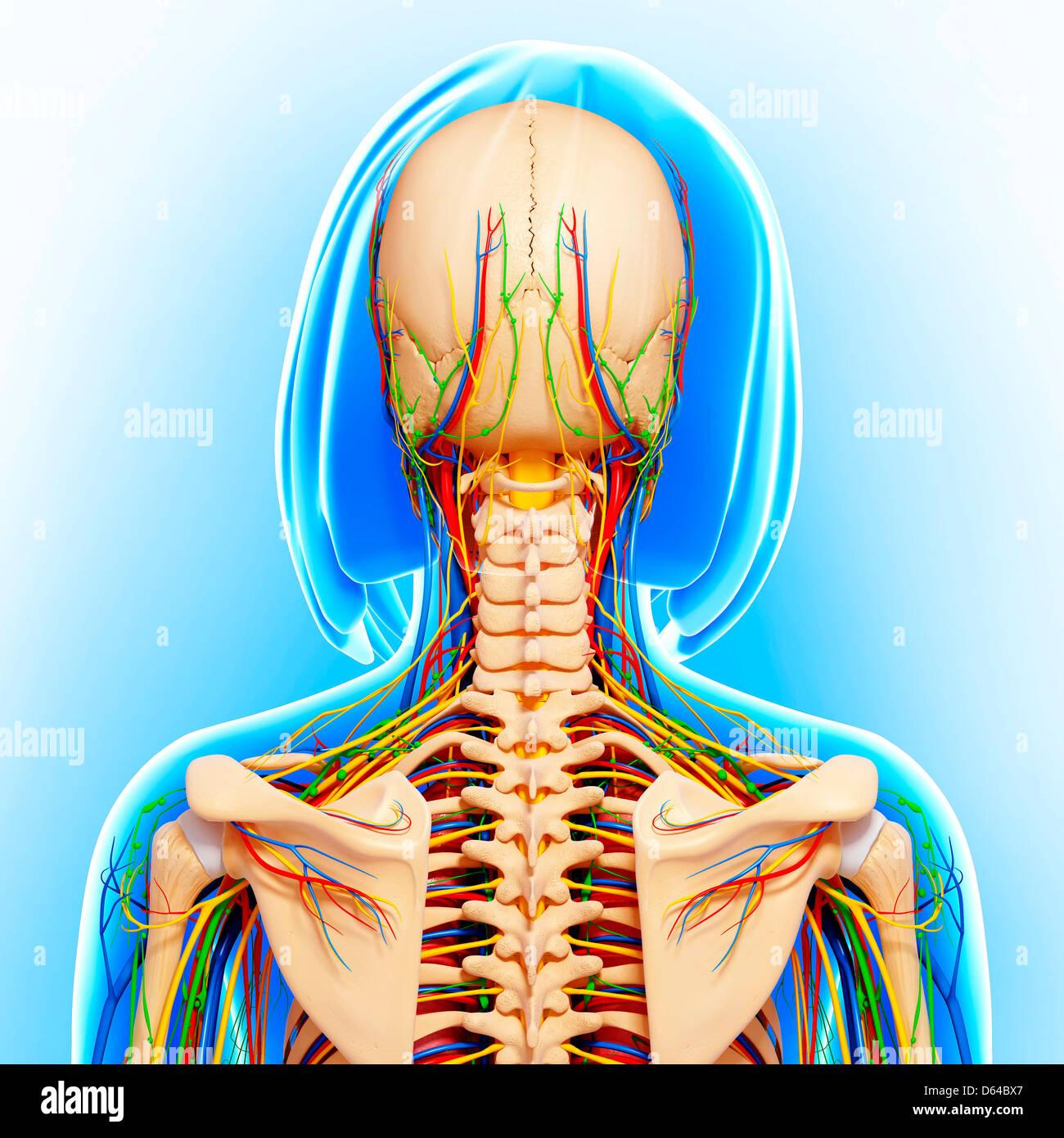 Ziemlich Weibliche Anatomie Teile Bilder - Menschliche Anatomie ...