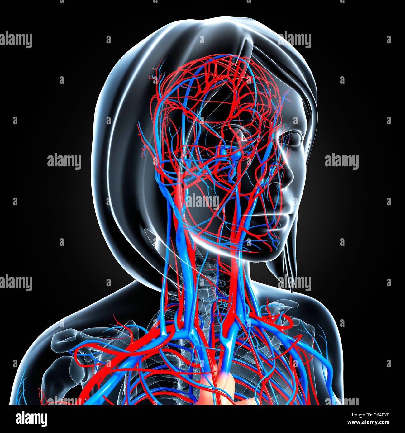 Beste Kreislauf System Interaktiv Bilder - Menschliche Anatomie ...