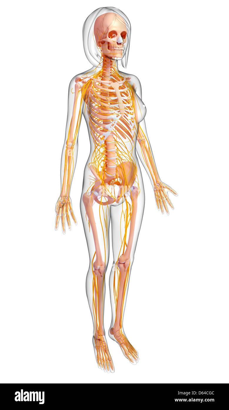 Weibliche Anatomie, artwork Stockfoto, Bild: 55416716 - Alamy