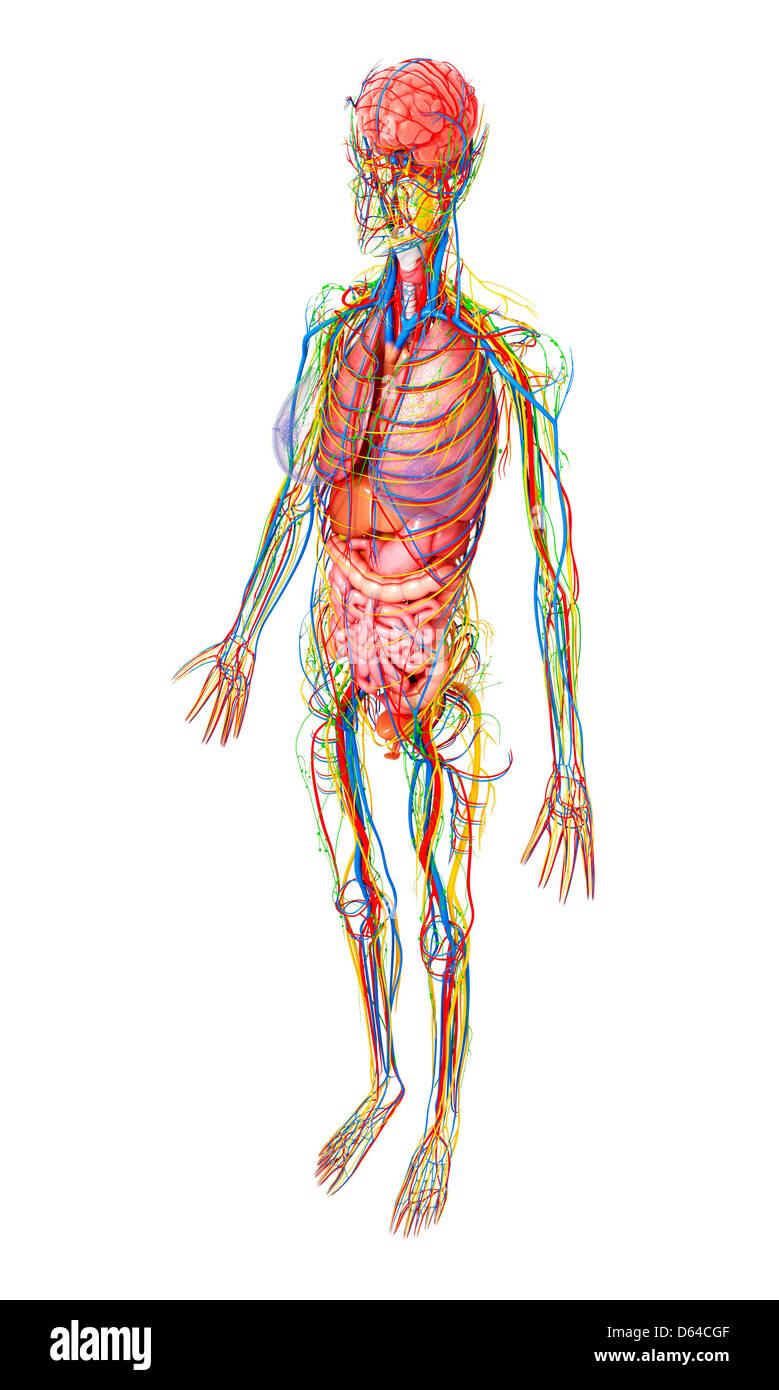 Nett Weibliche Anatomie Gekennzeichnet Bilder - Anatomie Von ...
