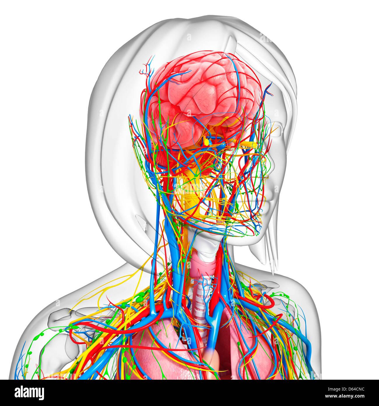 Nerve Supply Stockfotos & Nerve Supply Bilder - Alamy