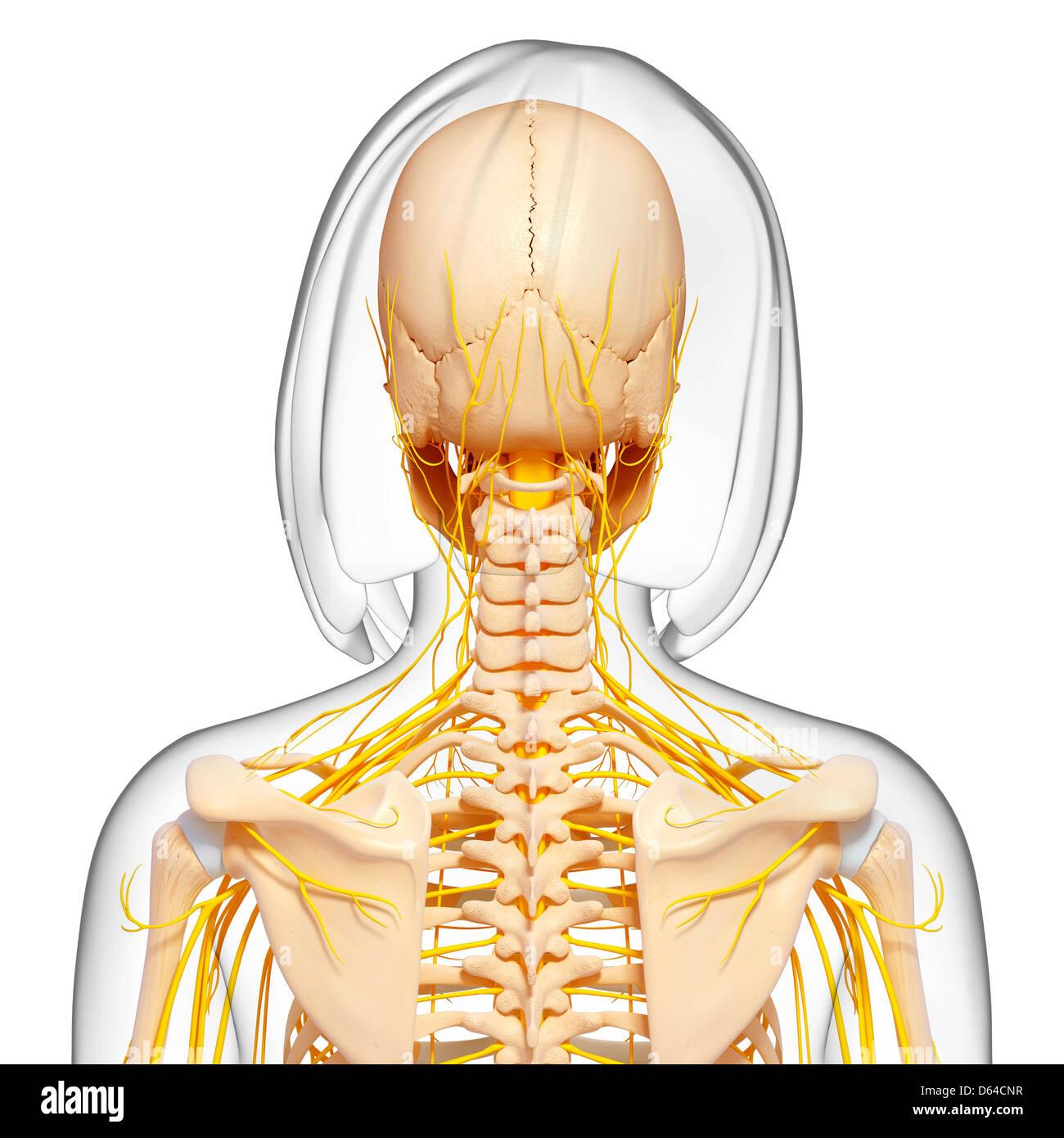 Weibliche Anatomie, artwork Stockfoto, Bild: 55416867 - Alamy