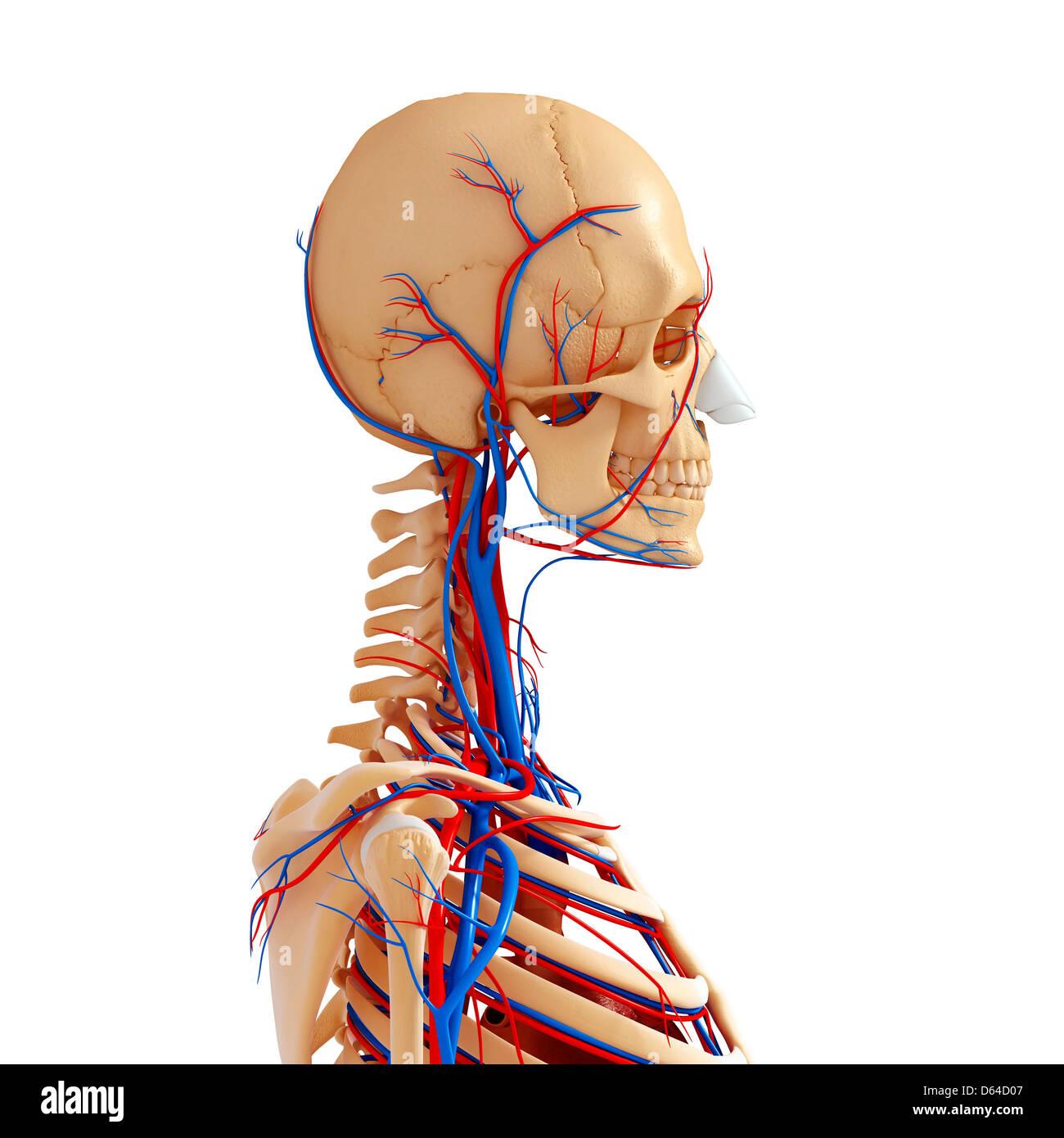 Oberkörper-Anatomie, artwork Stockfoto, Bild: 55417047 - Alamy