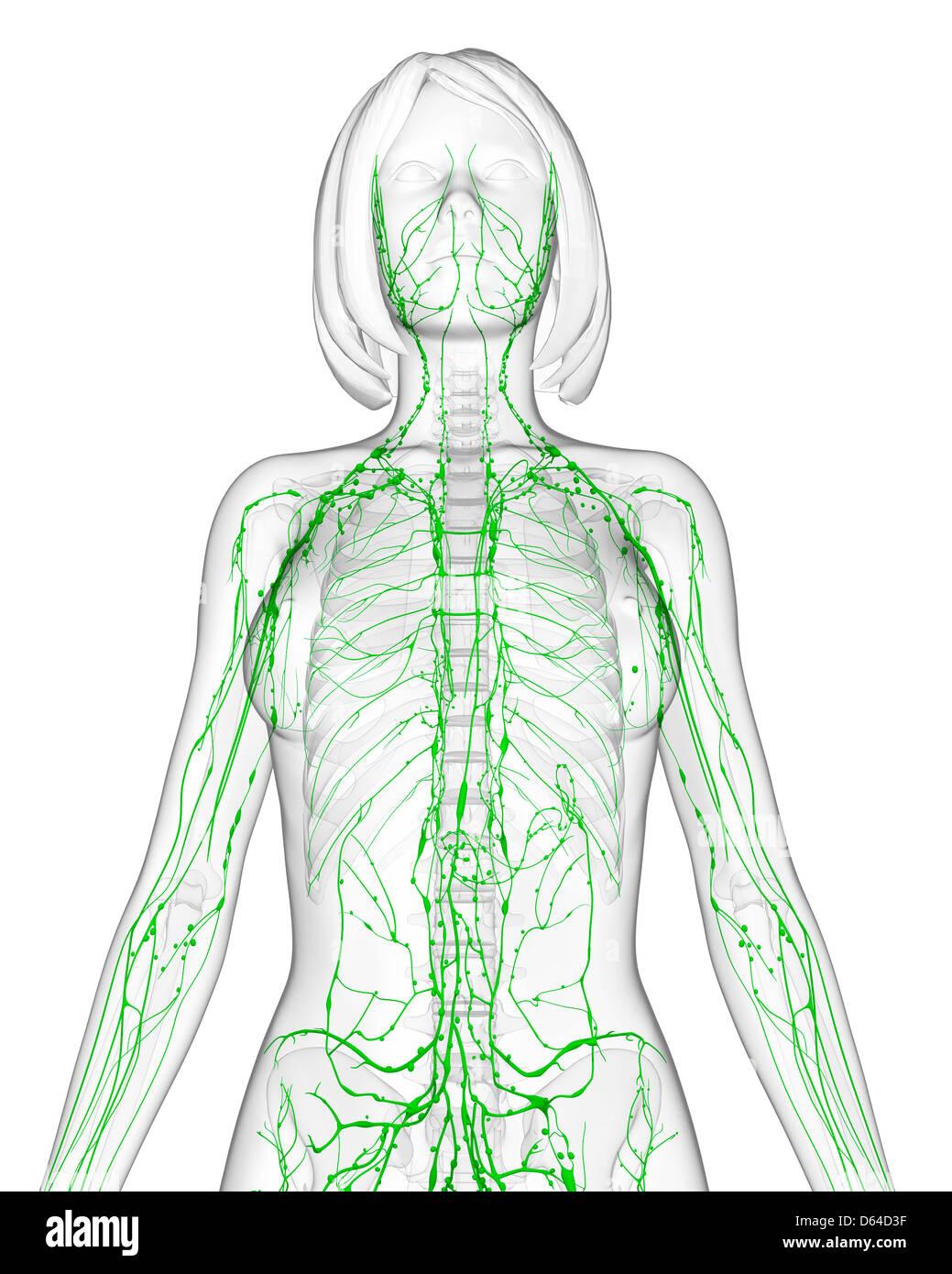 Nett Lymphsystem überblick Fotos - Menschliche Anatomie Bilder ...
