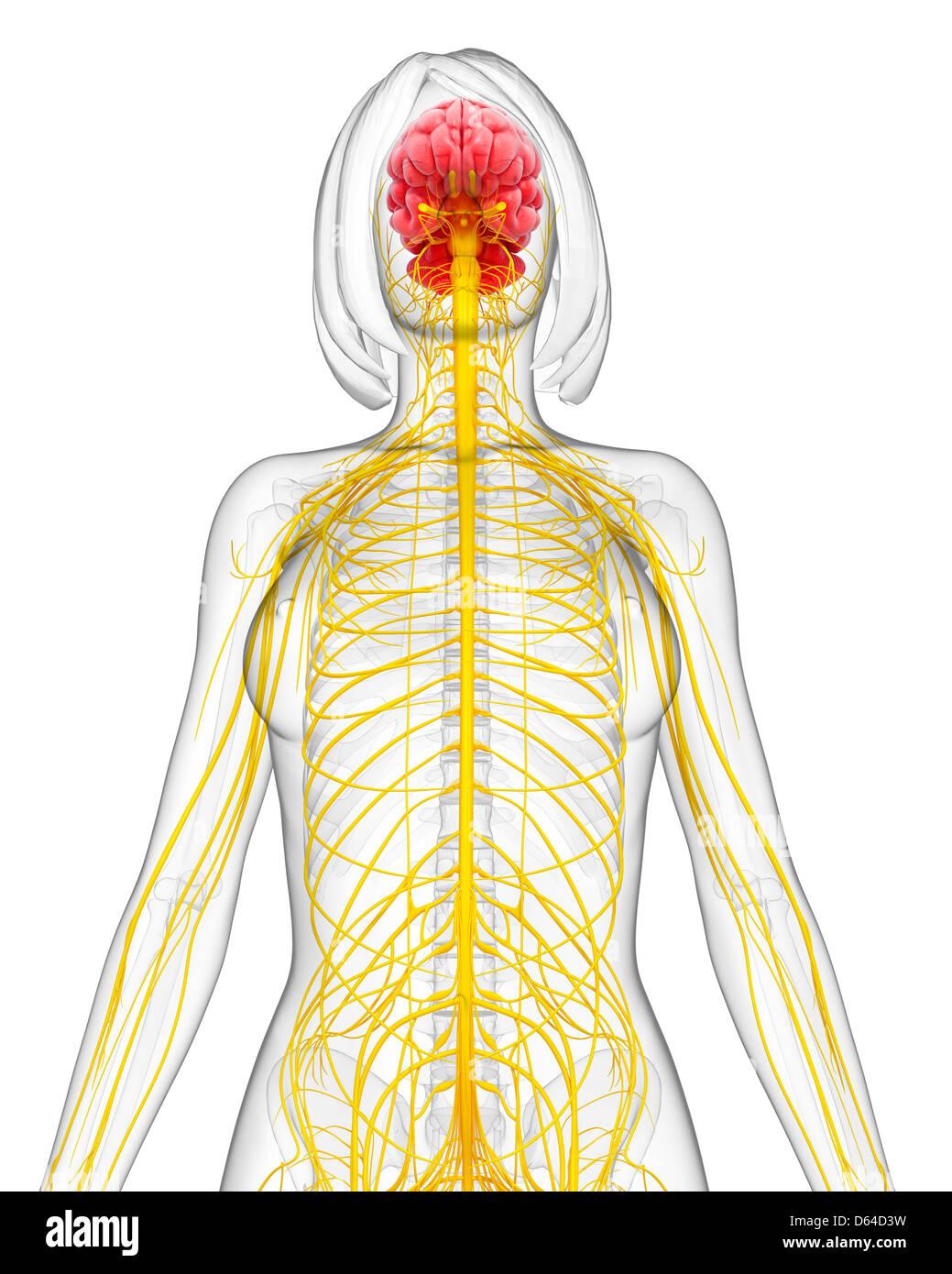 Gemütlich Weibliche Anatomie Diagramm Organe Fotos - Anatomie Ideen ...
