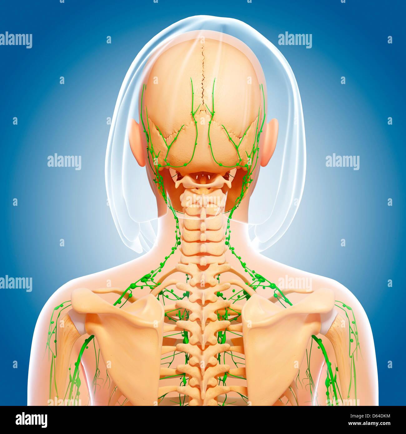 Oberkörper-Anatomie, artwork Stockfoto, Bild: 55417592 - Alamy