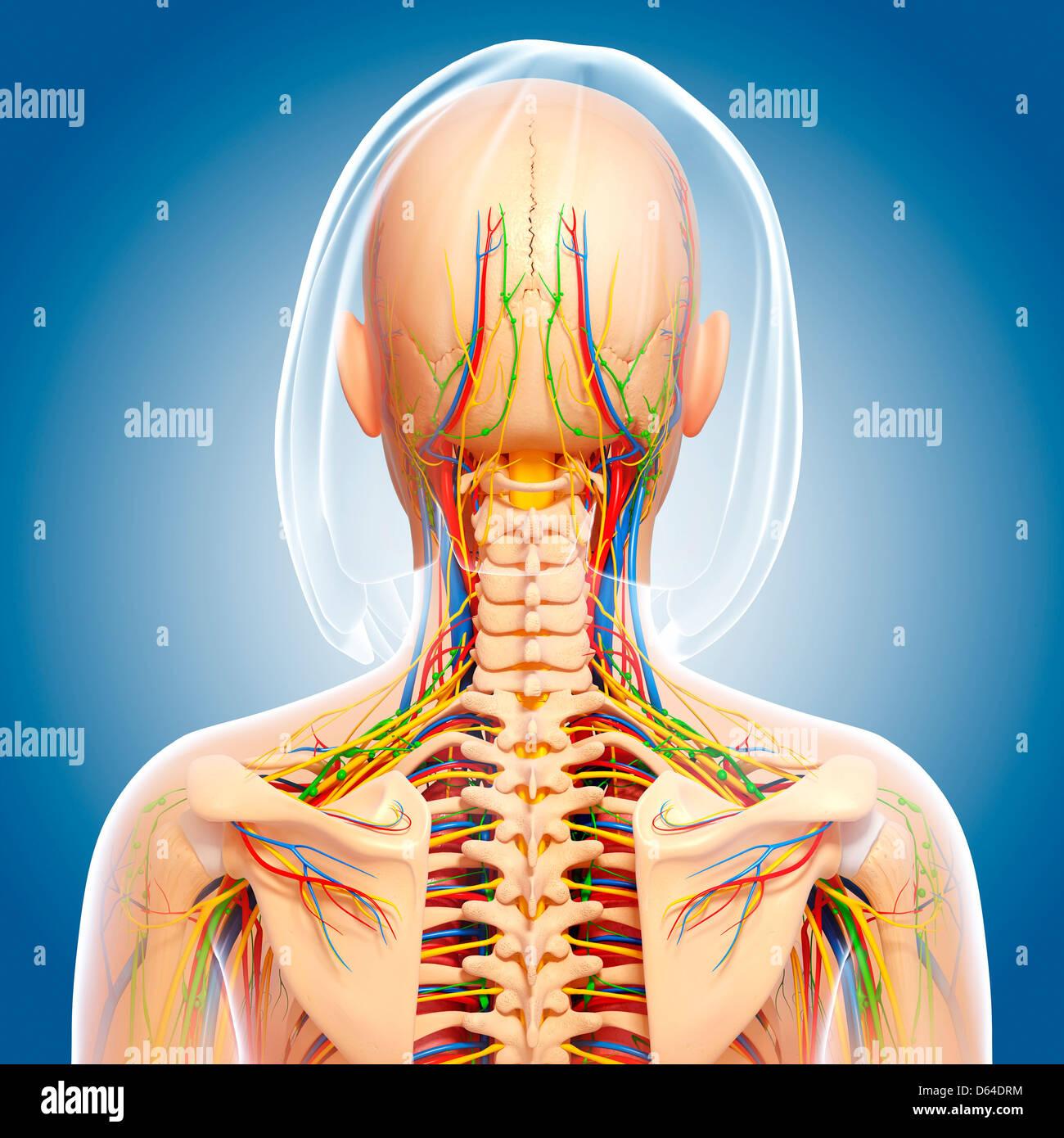 Oberkörper-Anatomie, artwork Stockfoto, Bild: 55417704 - Alamy