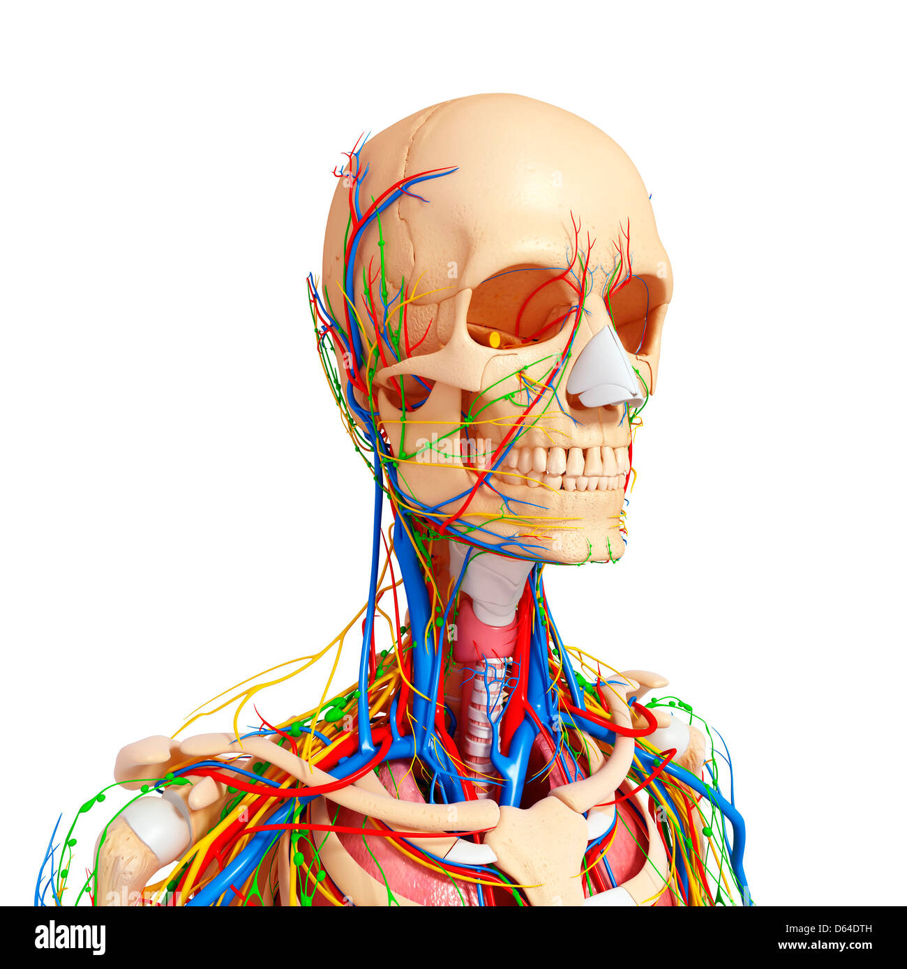 Circulatory Nervous Lymphatic Human Head Stockfotos & Circulatory ...
