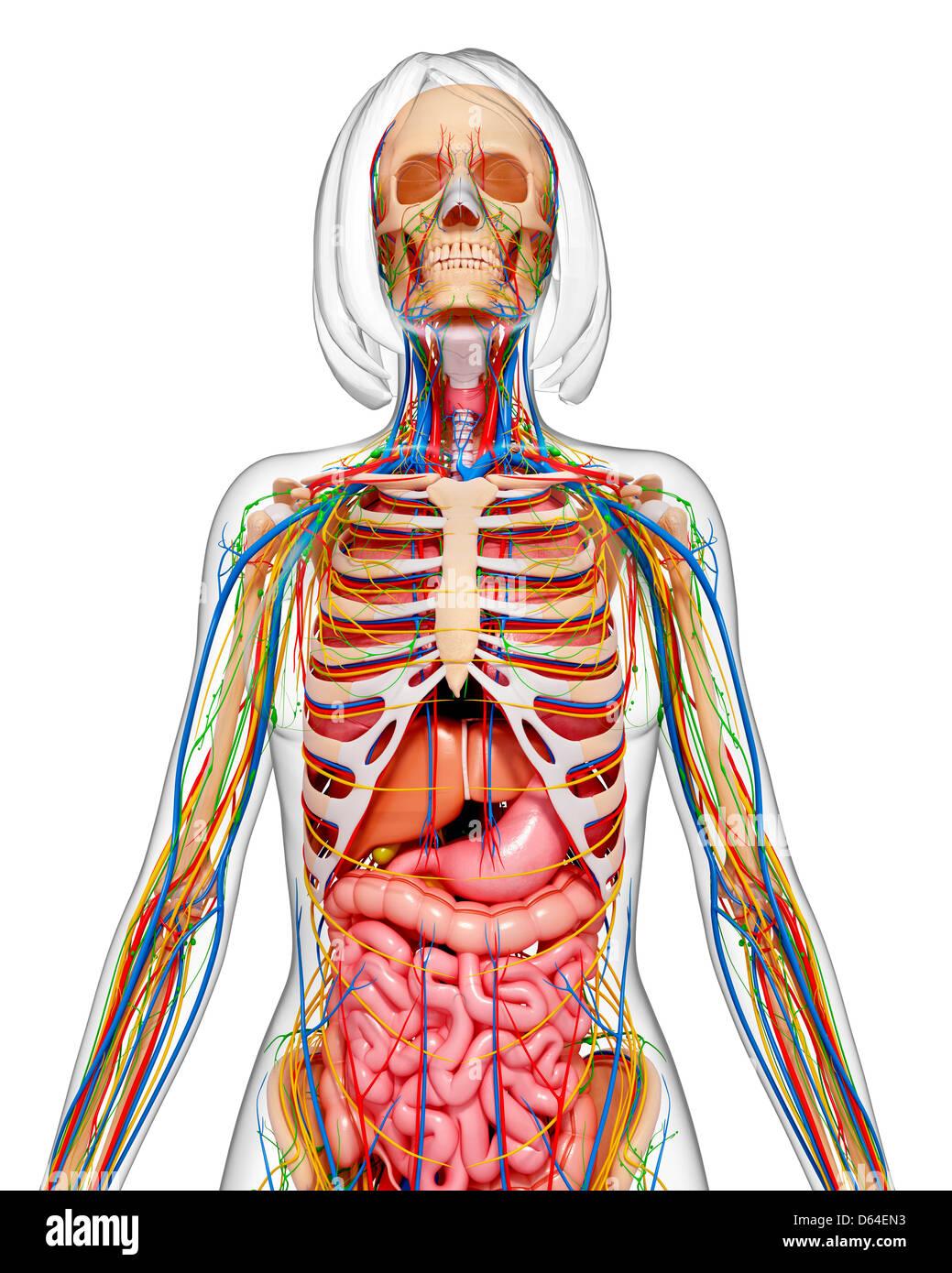 Weibliche Anatomie, artwork Stockfoto, Bild: 55418415 - Alamy