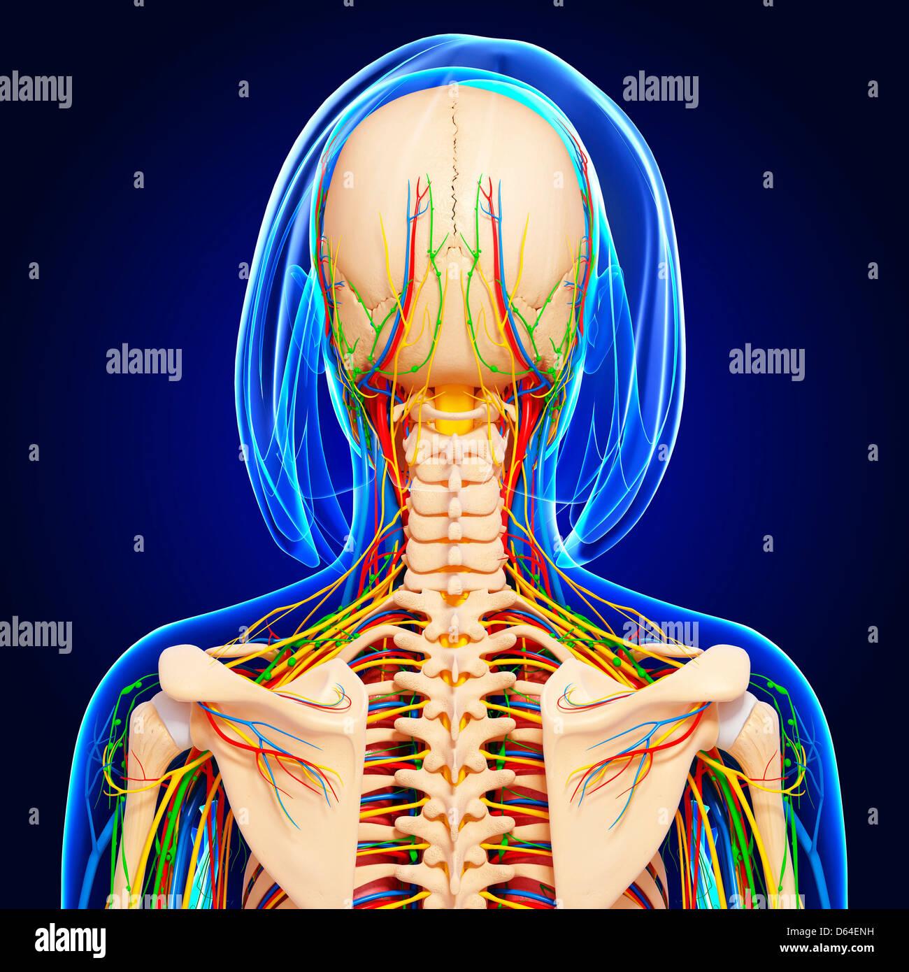 Oberkörper-Anatomie, artwork Stockfoto, Bild: 55418429 - Alamy