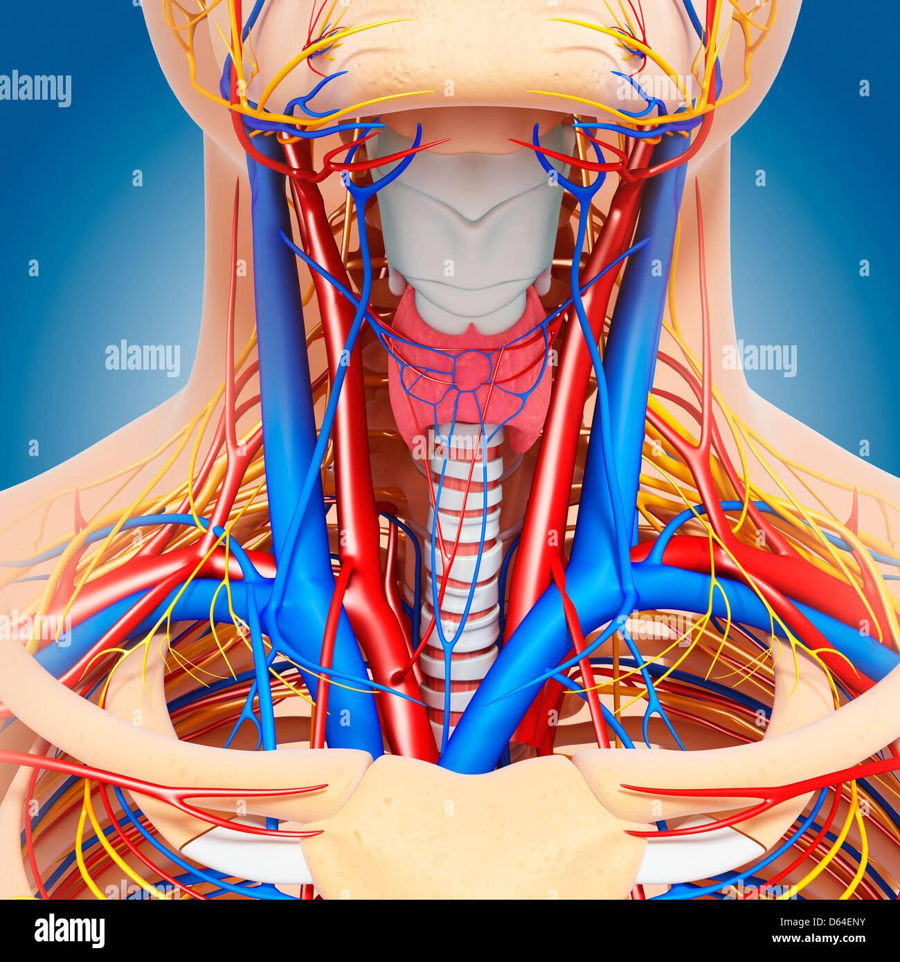 Hals-Anatomie, artwork Stockfoto, Bild: 55418439 - Alamy