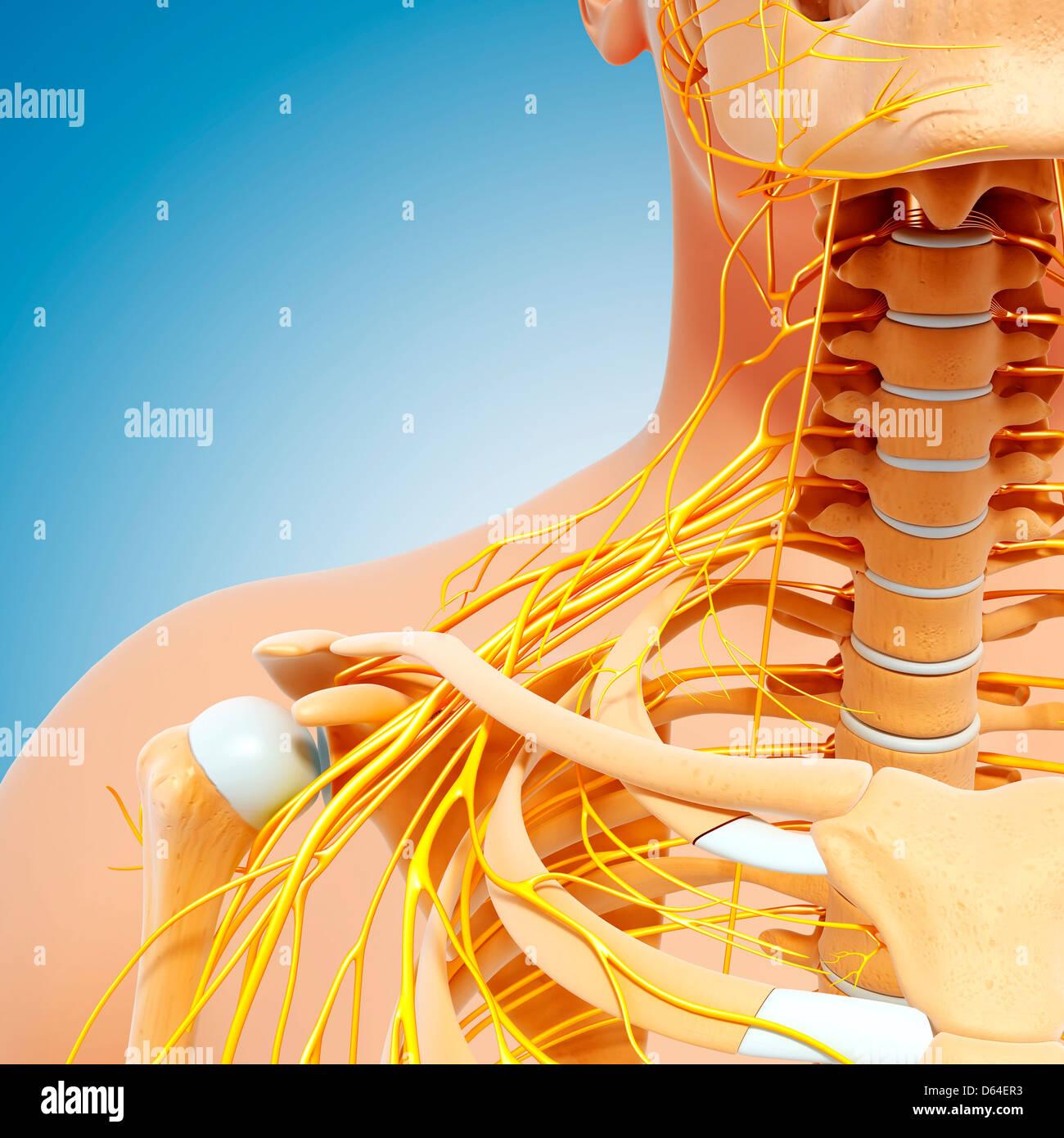 Schulter Anatomie, Kunstwerk Stockfoto, Bild: 55418471 - Alamy