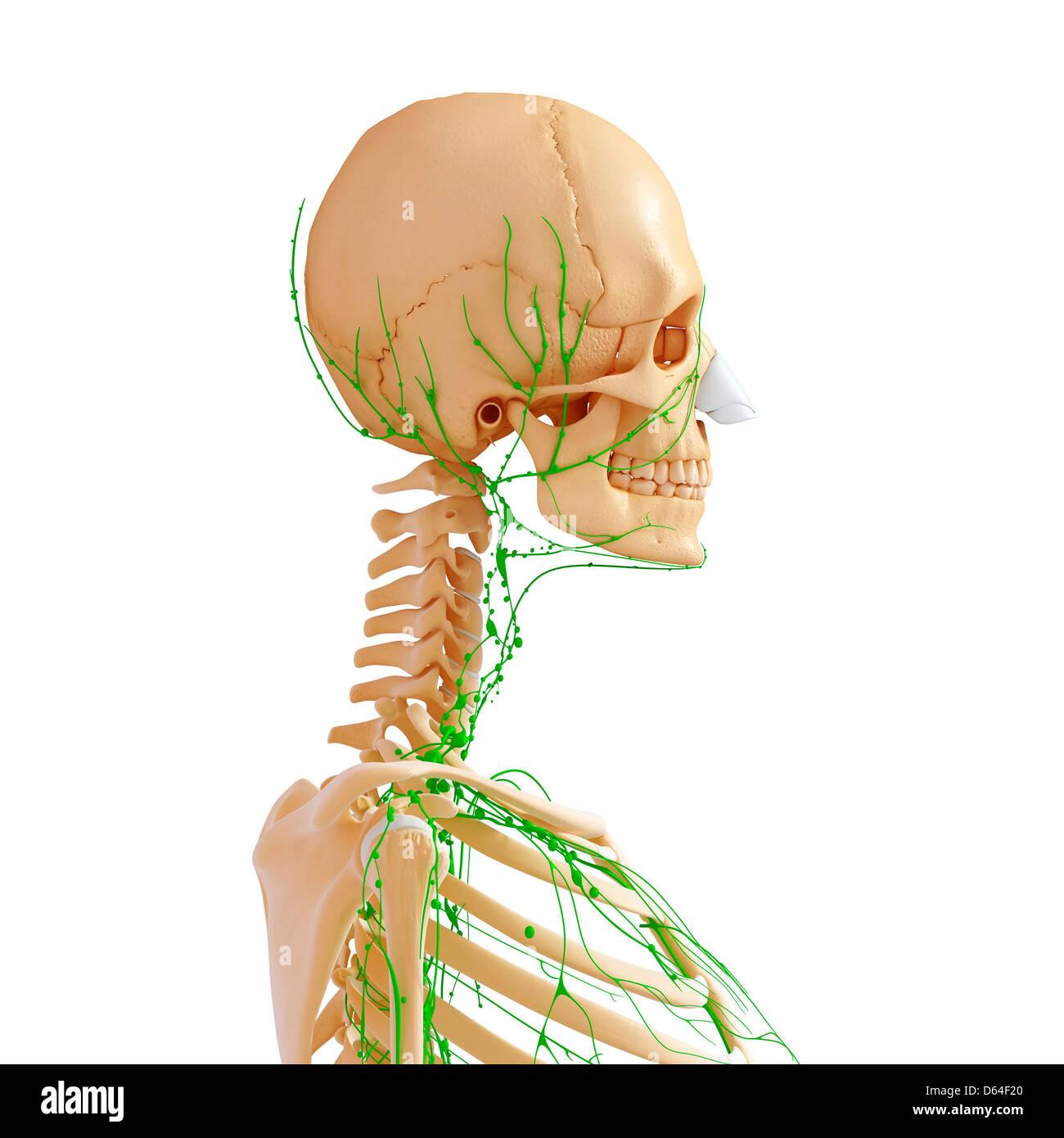 Erfreut Ultraschall Bauchspeicheldrüse Anatomie Zeitgenössisch ...