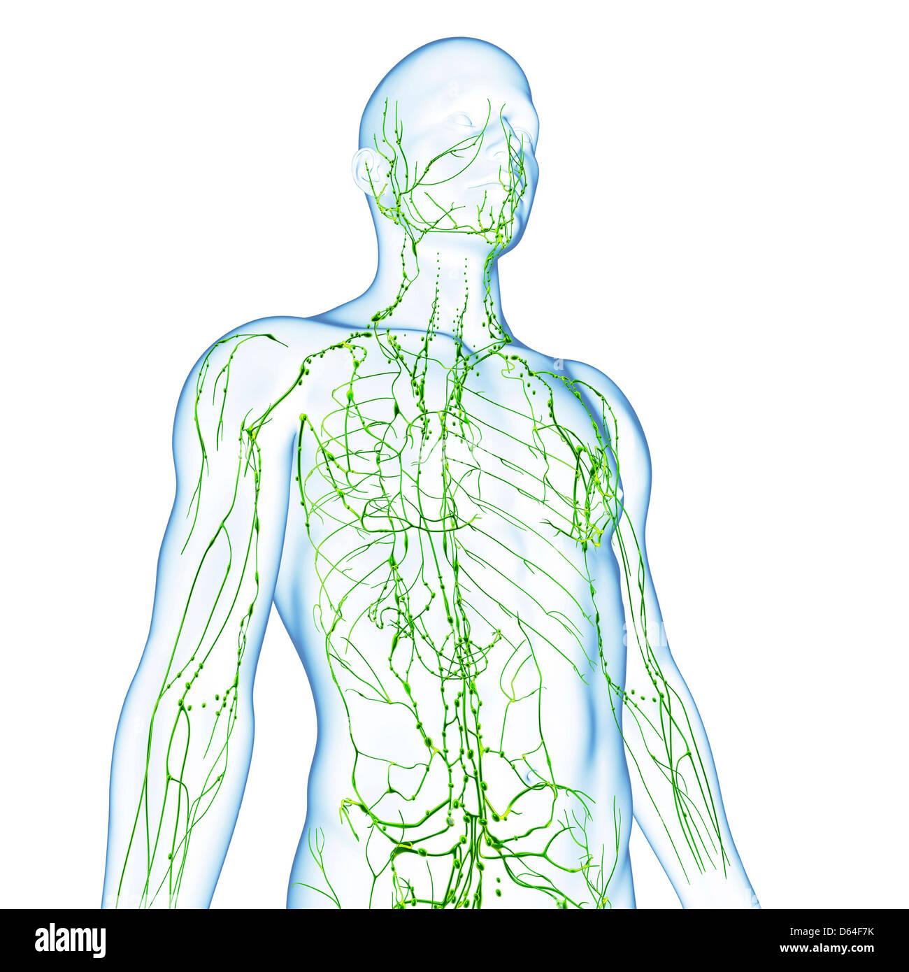 Ungewöhnlich Menschliche Lymphsystem Diagramm Bilder - Menschliche ...