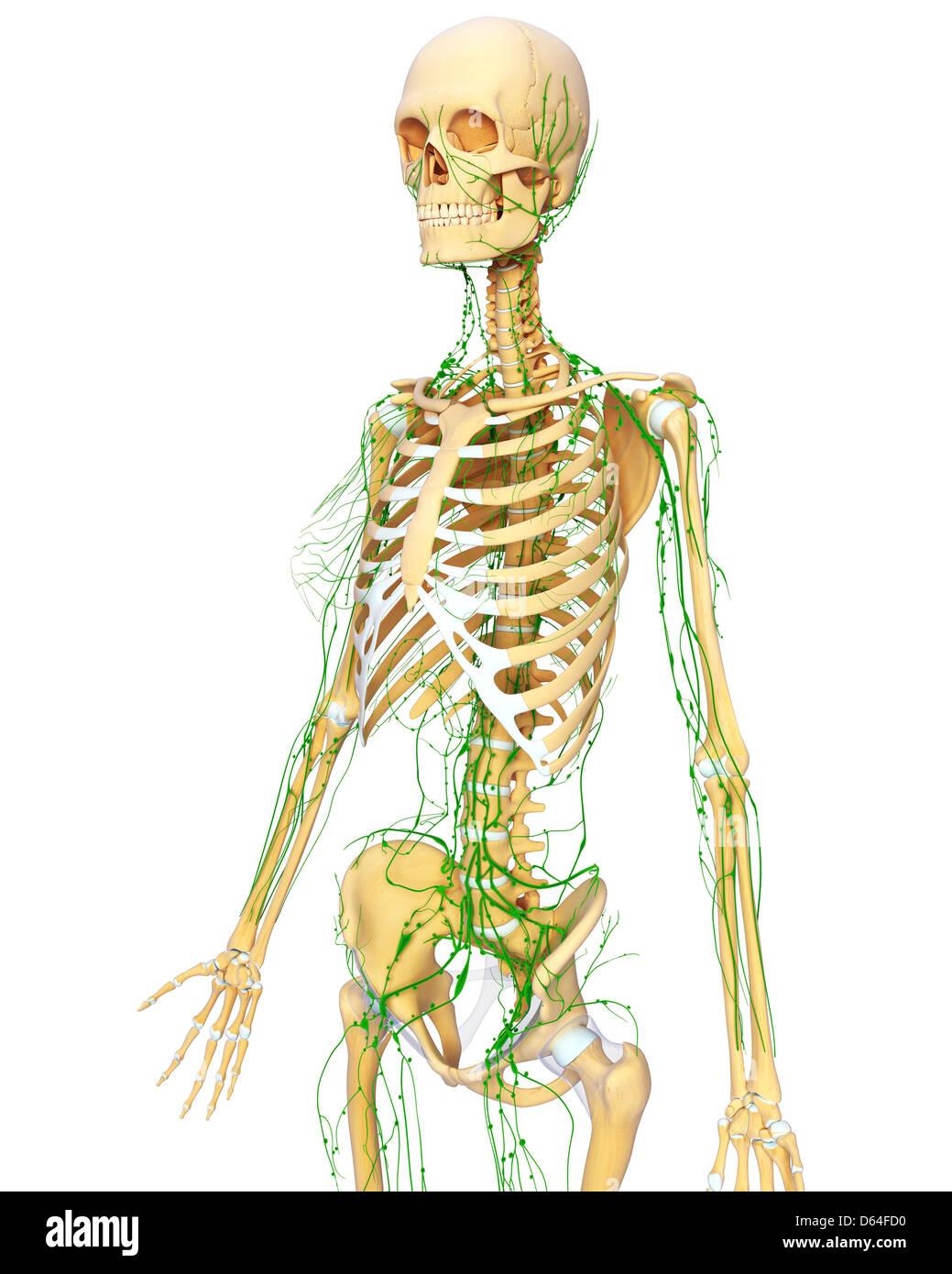 Großzügig Supraklavikulargrube Anatomie Zeitgenössisch - Physiologie ...
