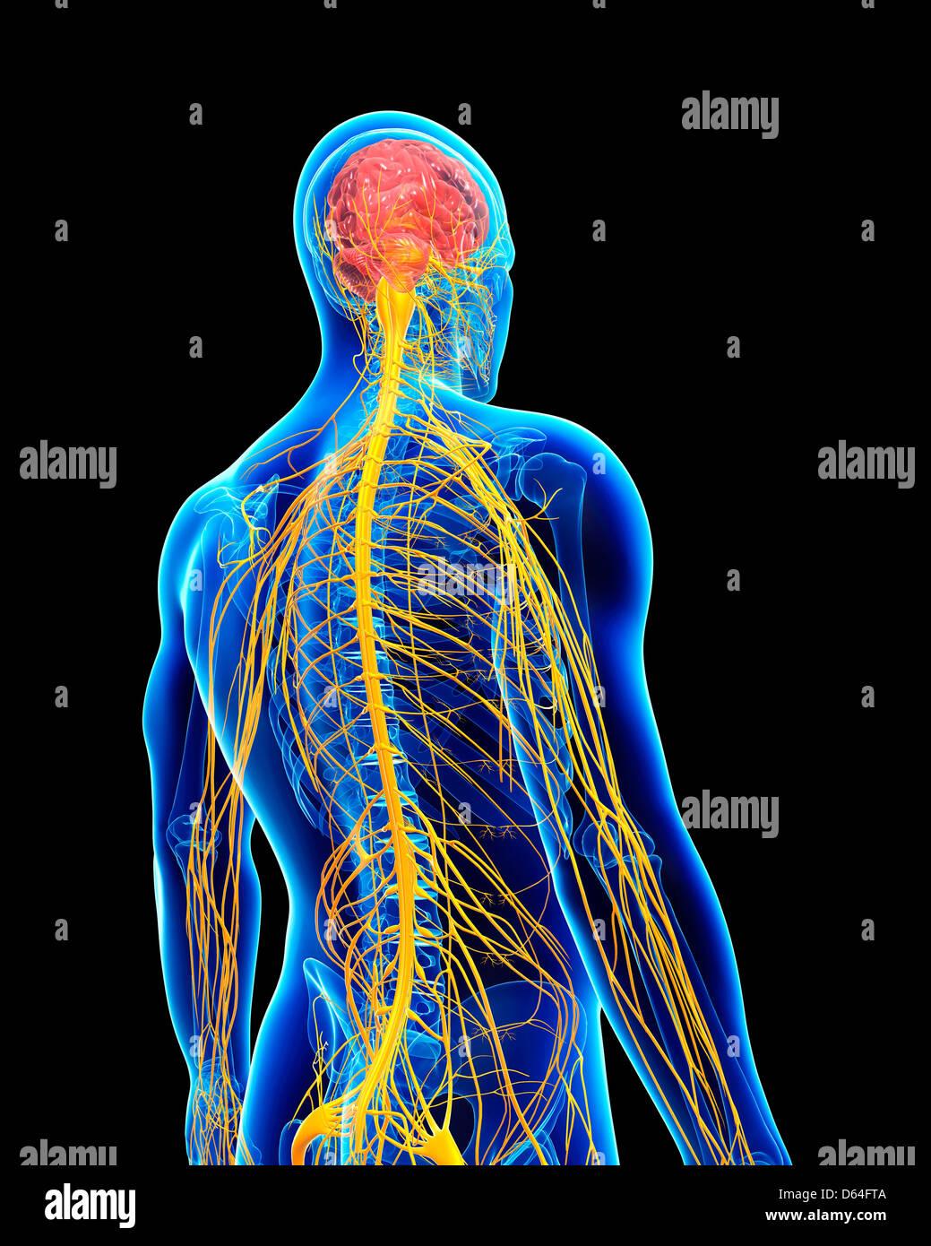 Ziemlich Anatomie Und Physiologie Des Fortpflanzungssystems Bilder ...