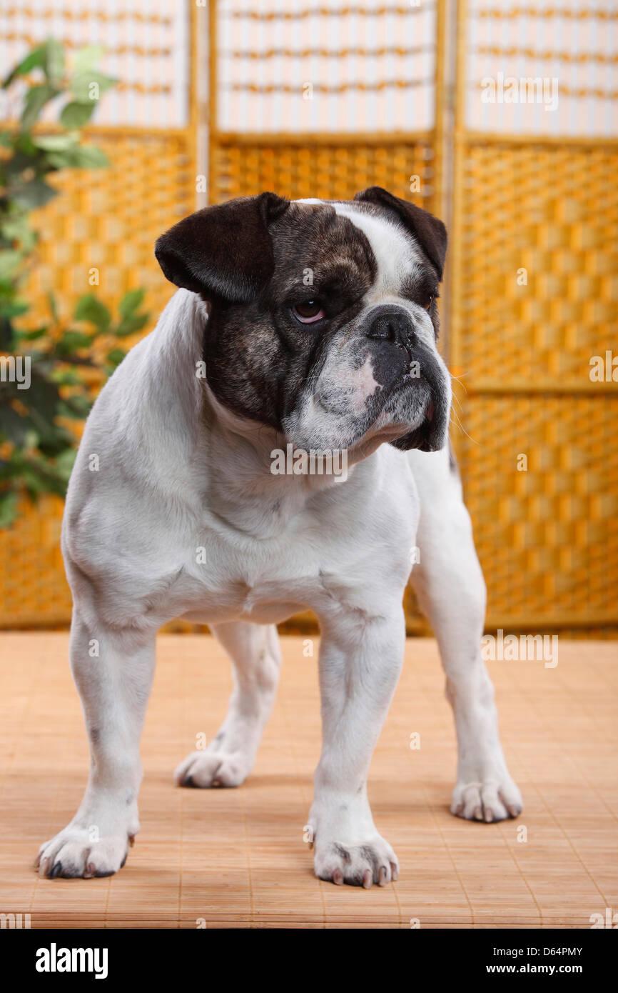 Bulldogge mischlinge französische ❤ bulldogge