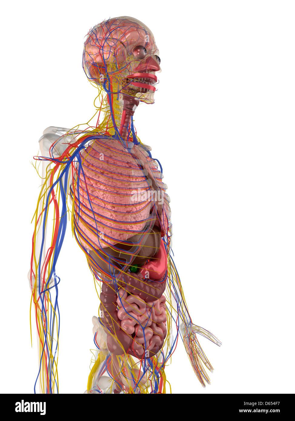 Großartig Anatomie Lernmittel Fotos - Menschliche Anatomie Bilder ...