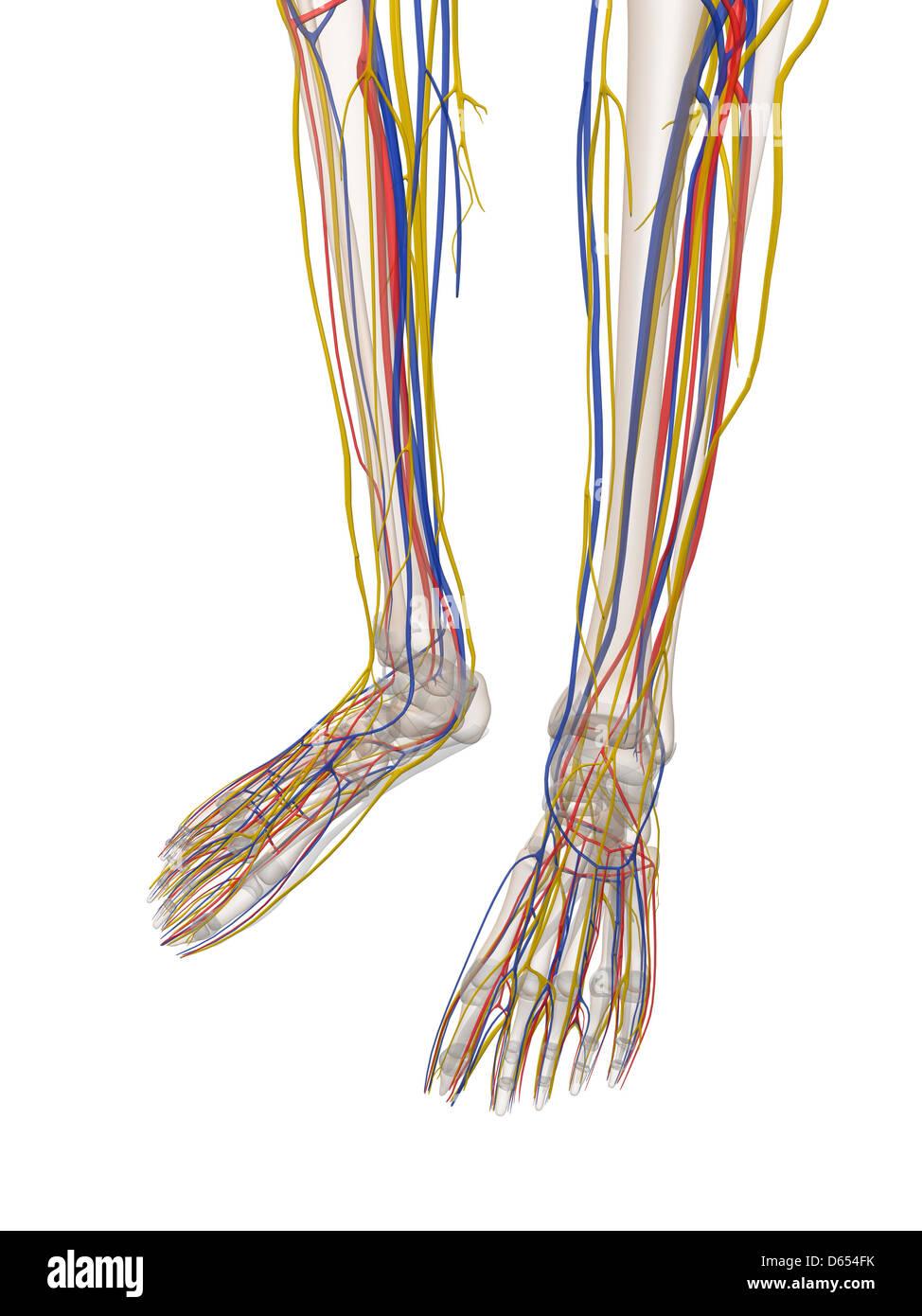 Untere Bein Anatomie, artwork Stockfoto, Bild: 55432375 - Alamy