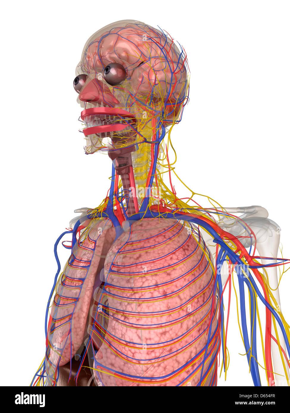Menschliche Anatomie, artwork Stockfoto, Bild: 55432379 - Alamy