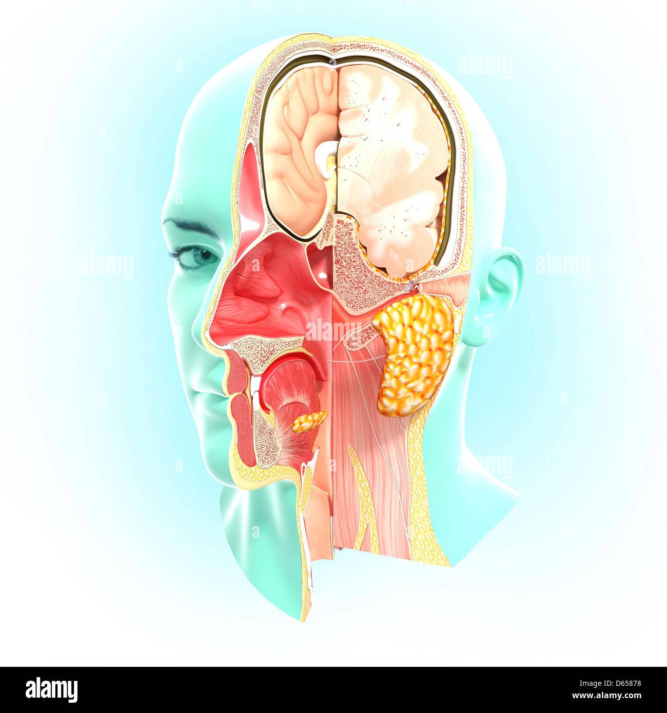 Ungewöhnlich Zerebralparese Anatomie Bilder - Anatomie Von ...