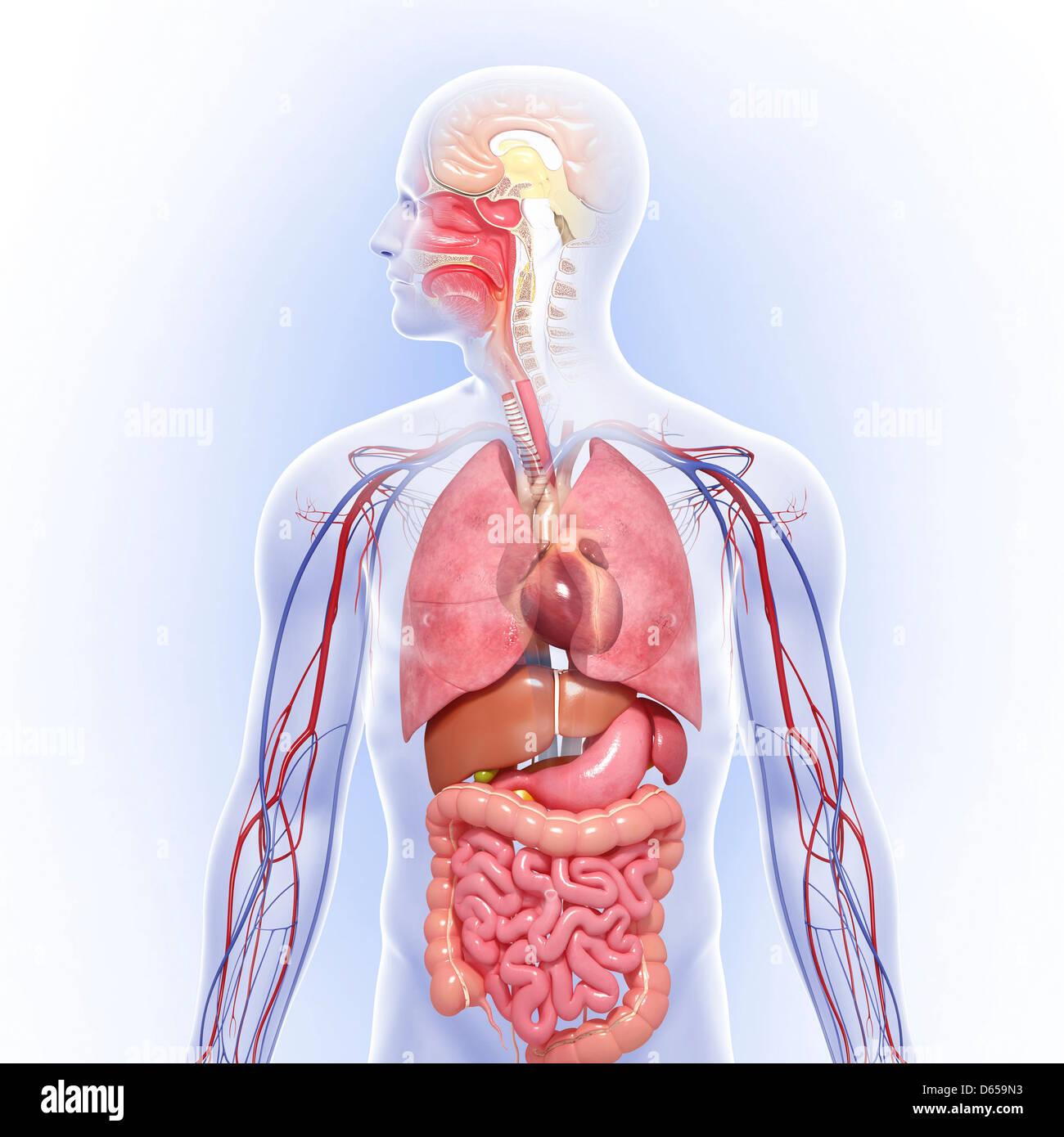 Menschliche Anatomie, artwork Stockfoto, Bild: 55436447 - Alamy