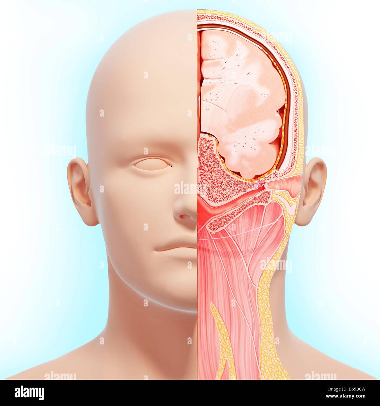 Kopf Anatomie, artwork Stockfoto, Bild: 55437785 - Alamy