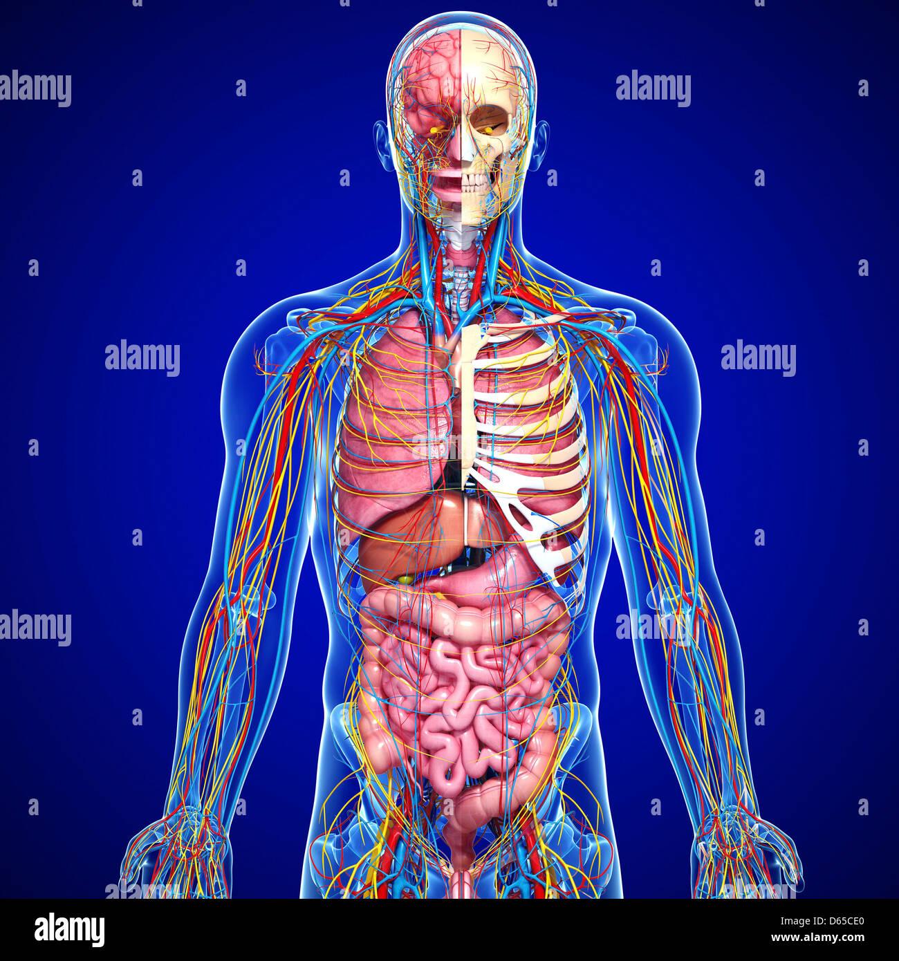 Ziemlich Männliches Fortpflanzungs Anatomie Modell Zeitgenössisch ...