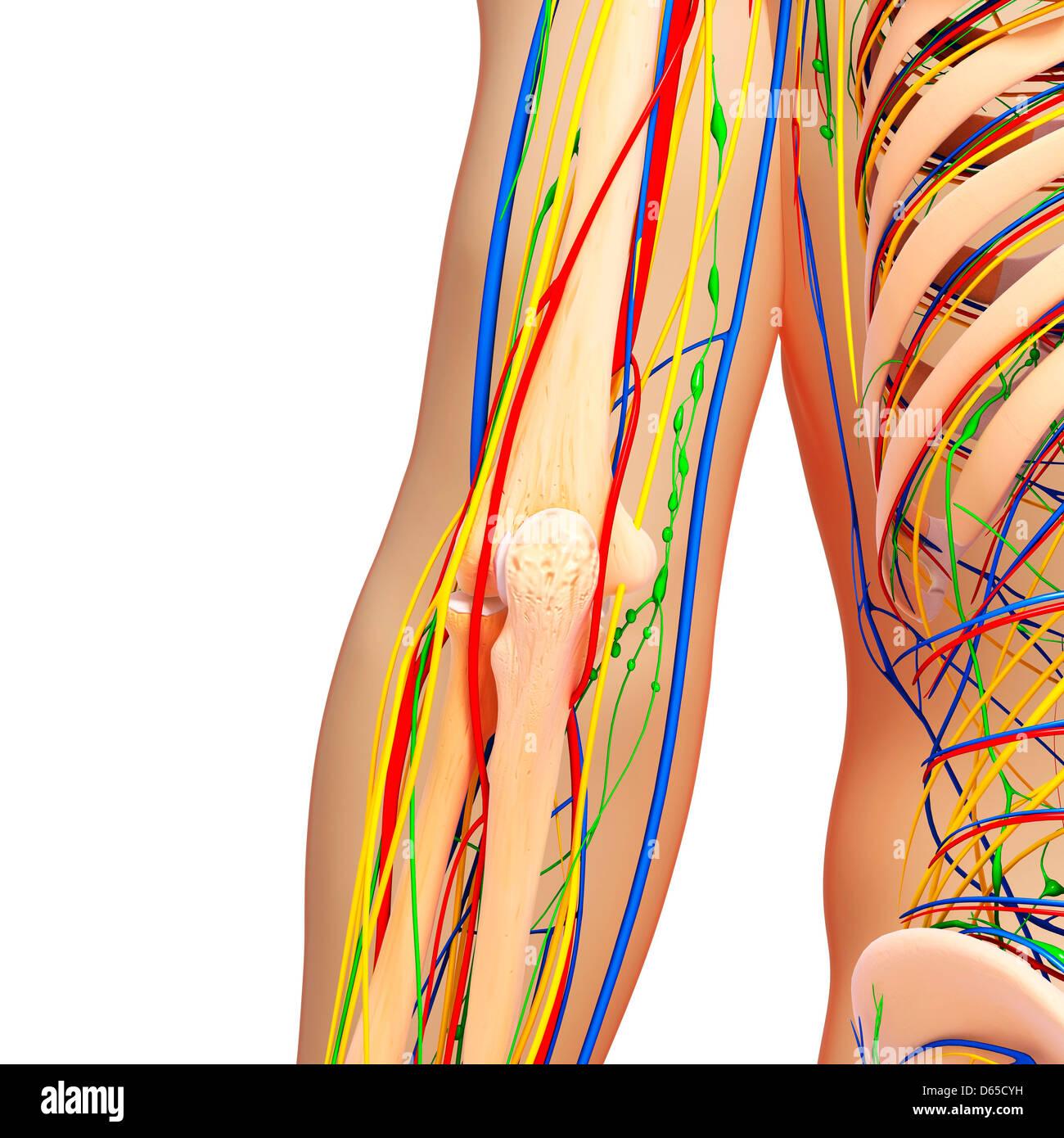 Ellenbogen Anatomie, Kunstwerk Stockfoto, Bild: 55438981 - Alamy