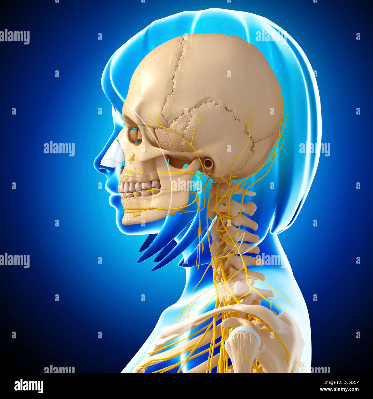 Head And Neck Anatomy Stockfotos & Head And Neck Anatomy Bilder - Alamy