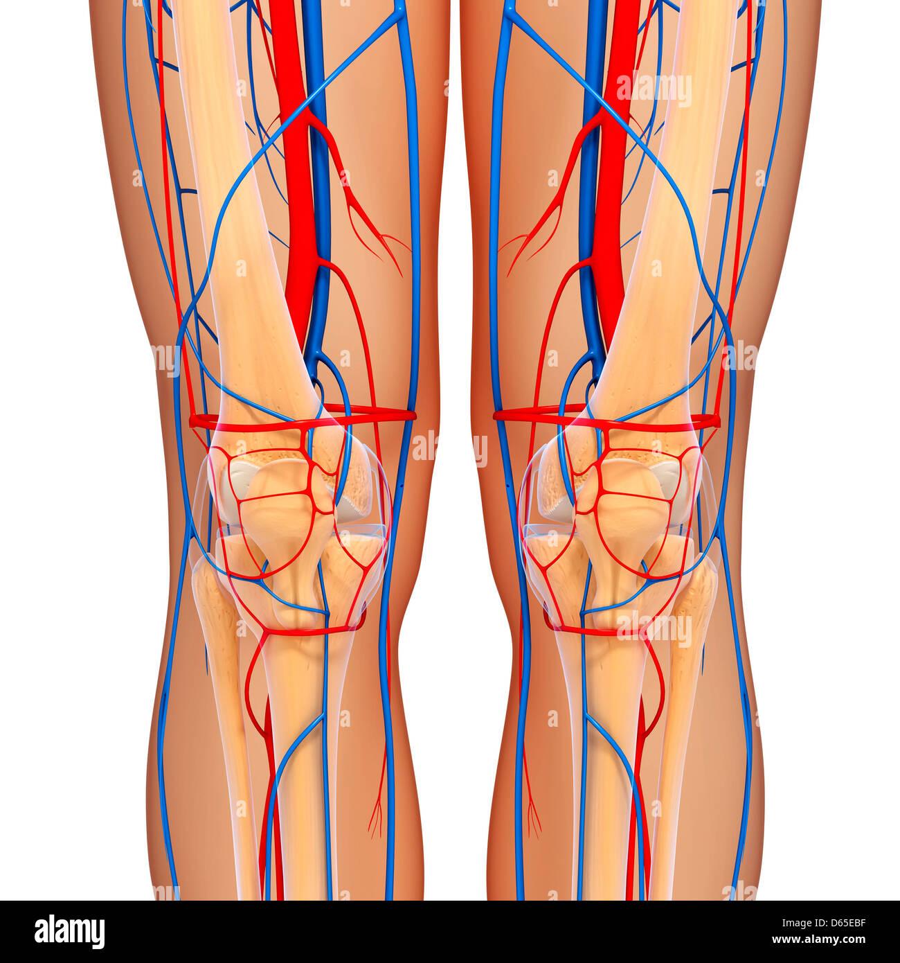 Knie-Anatomie, artwork Stockfoto, Bild: 55440099 - Alamy