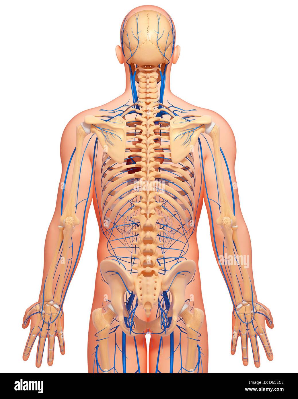 Menschliche Anatomie, artwork Stockfoto, Bild: 55440126 - Alamy