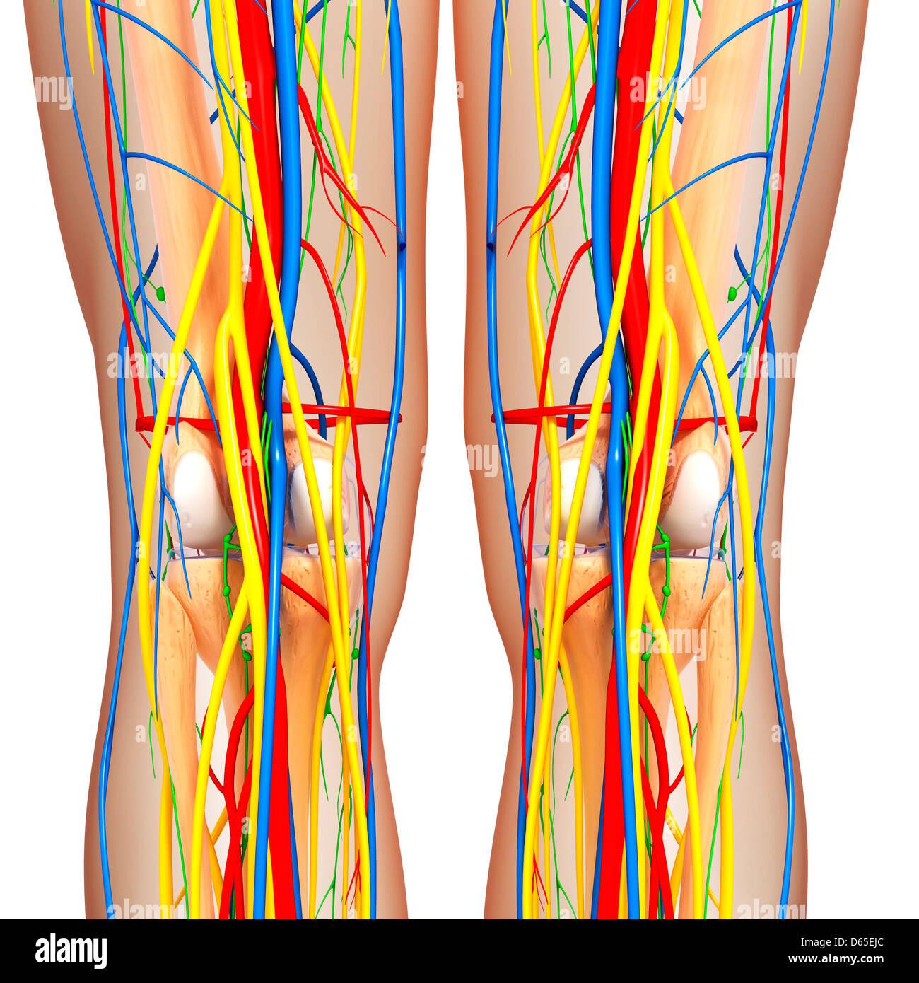 Knie-Anatomie, artwork Stockfoto, Bild: 55440292 - Alamy