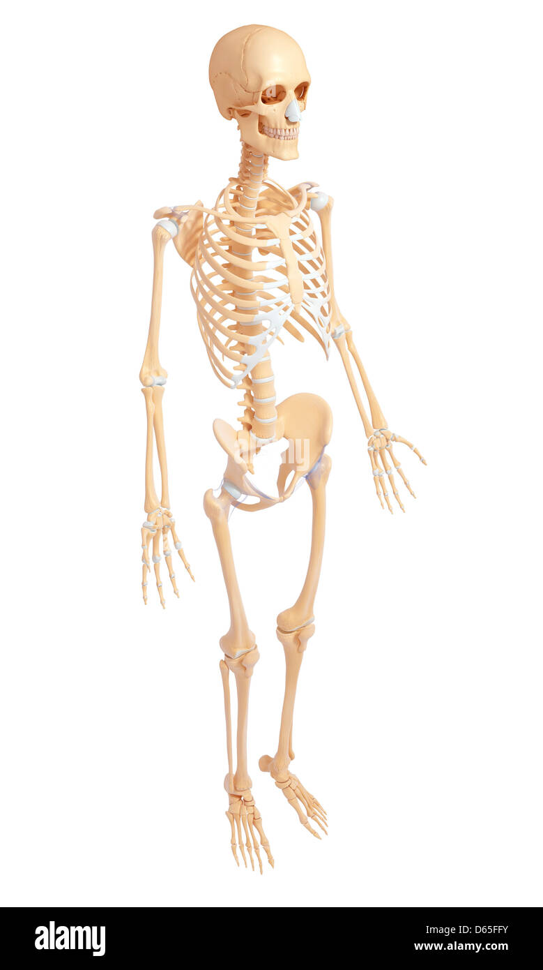 menschliches Skelett Anatomie Seite Stockbild