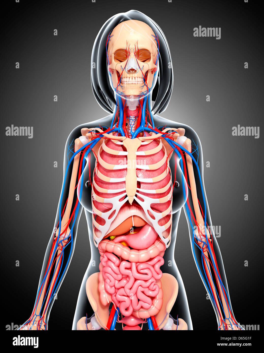 Weibliche Anatomie, artwork Stockfoto, Bild: 55441387 - Alamy