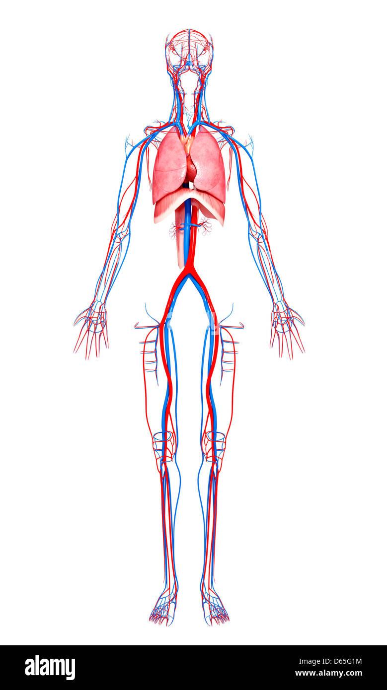Atemberaubend Menschliche Körperorgan Platzierung Zeitgenössisch ...