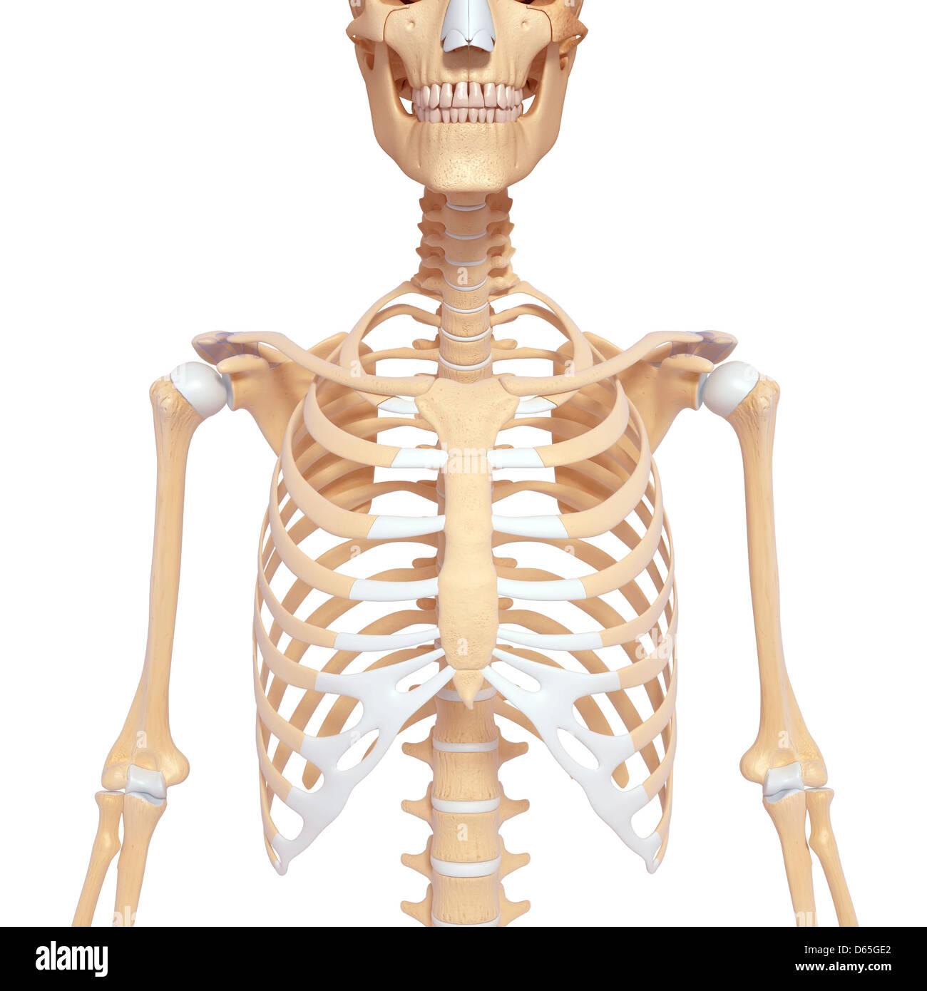 Menschliches Skelett, Kunstwerk Stockfoto, Bild: 55441738 - Alamy