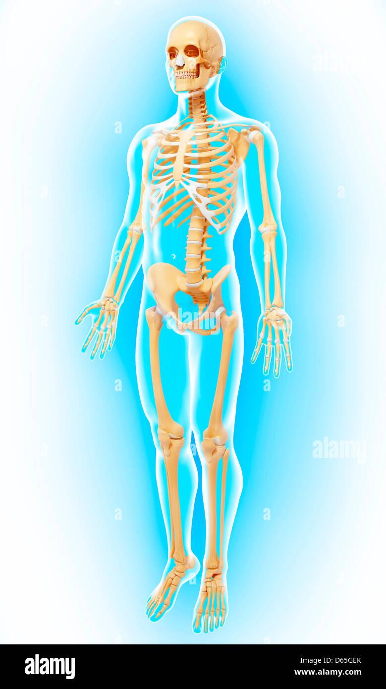Menschliches Skelett, Kunstwerk Stockfoto, Bild: 55441755 - Alamy
