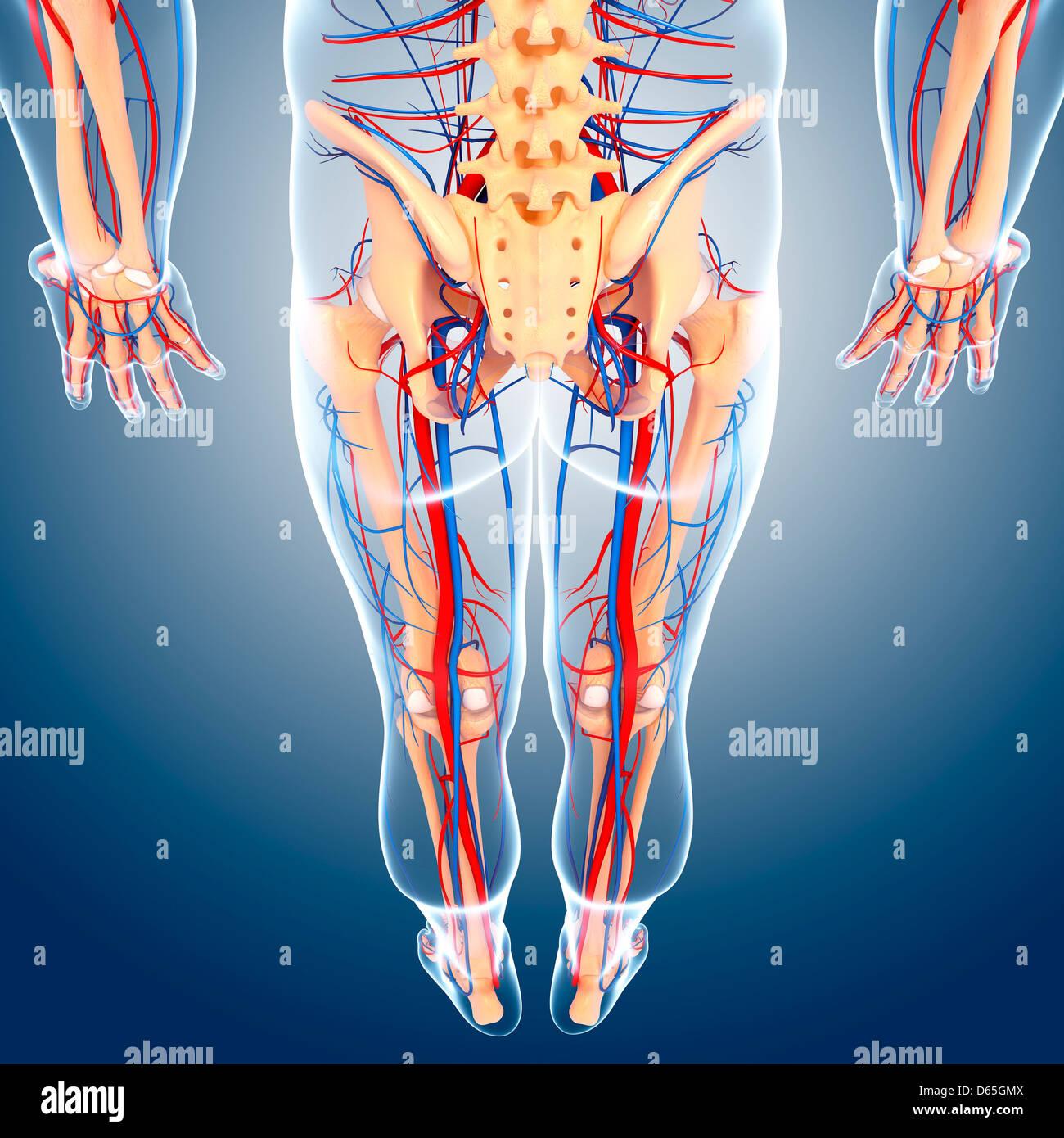 Unteren Körper Anatomie, artwork Stockfoto, Bild: 55441930 - Alamy