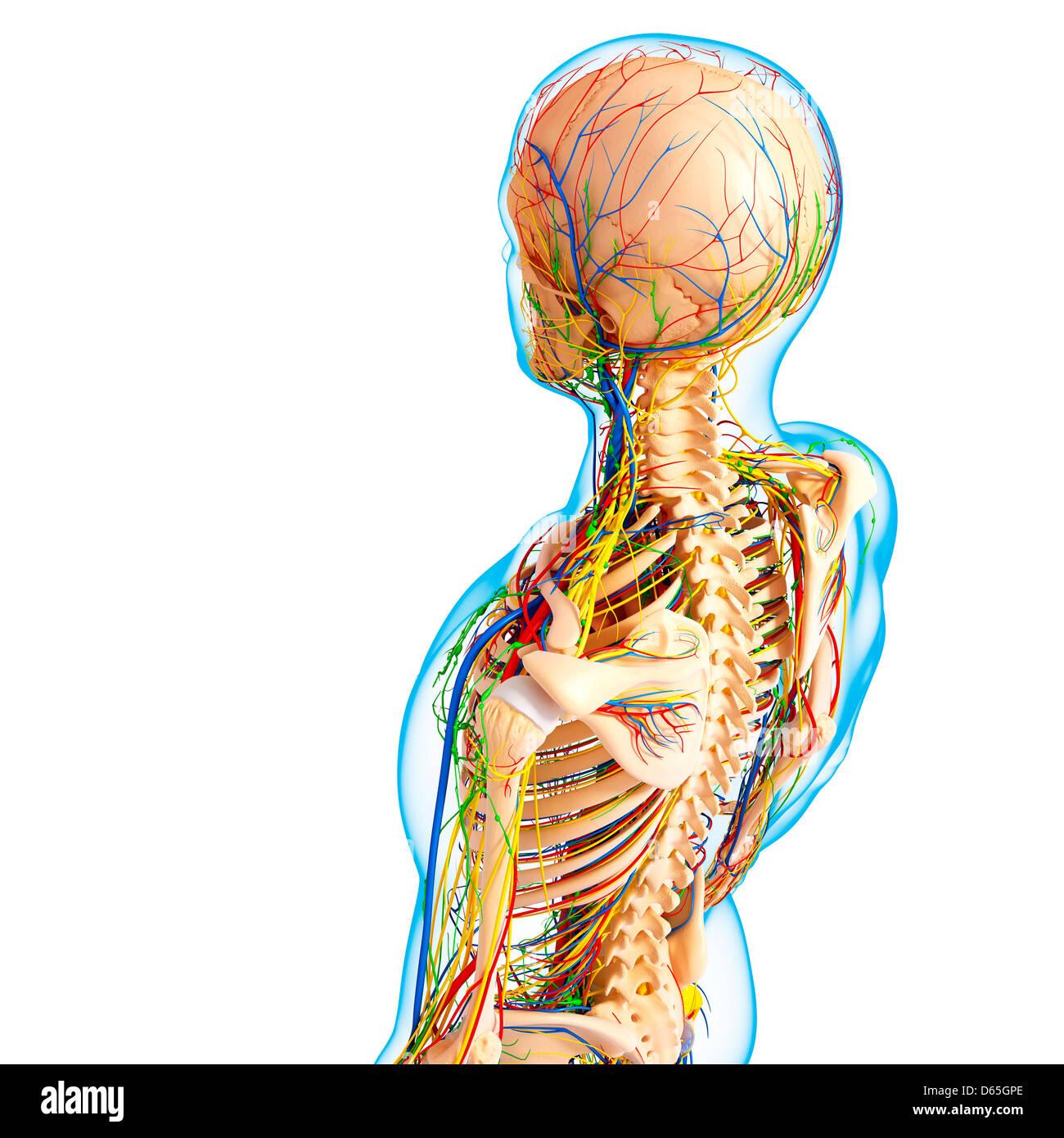 Anatomy Human Skull Rear View Stockfotos & Anatomy Human Skull Rear ...