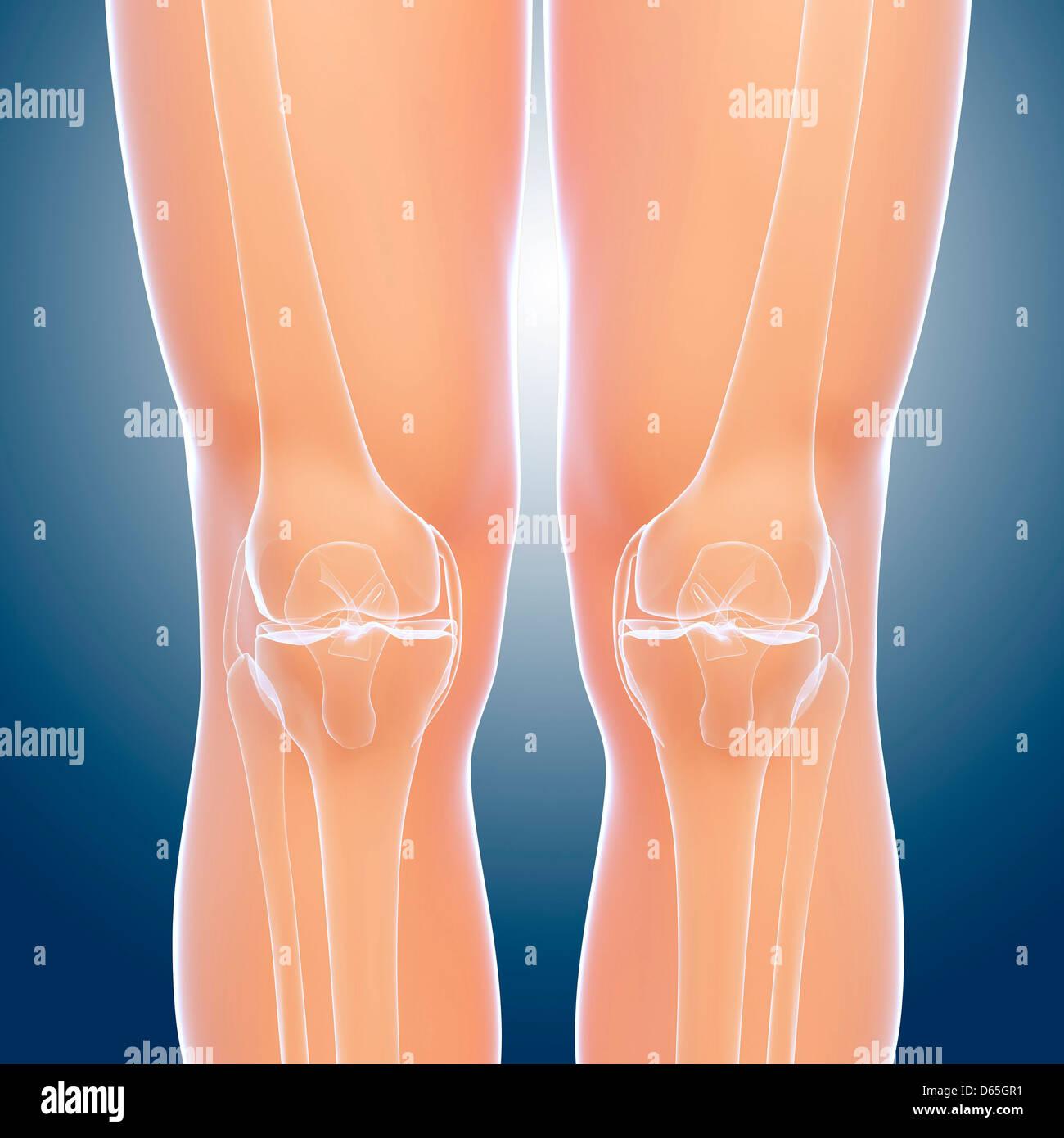 Knee Bone Anatomy Stockfotos Knee Bone Anatomy Bilder Alamy