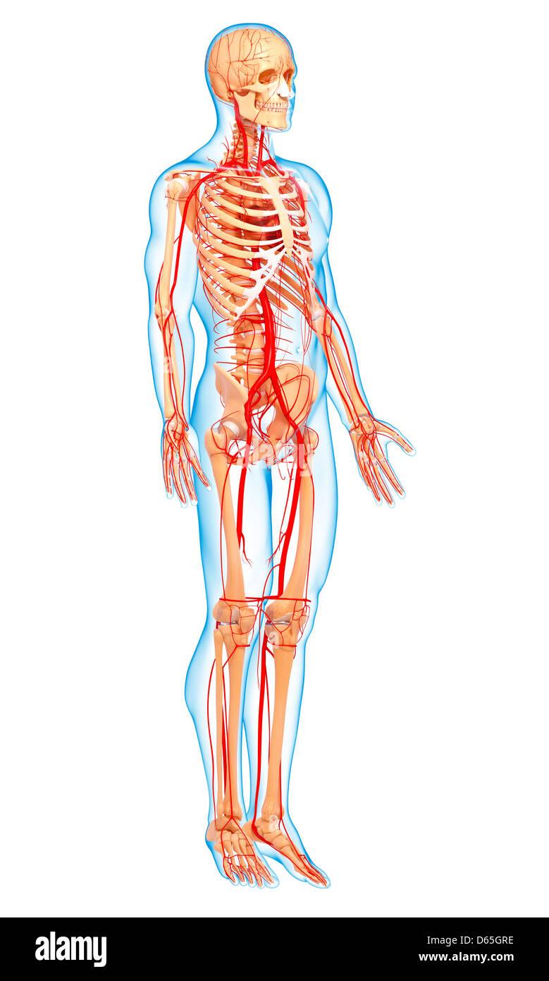 Gemütlich Menschliches Arteriensystem Bilder - Anatomie Ideen ...