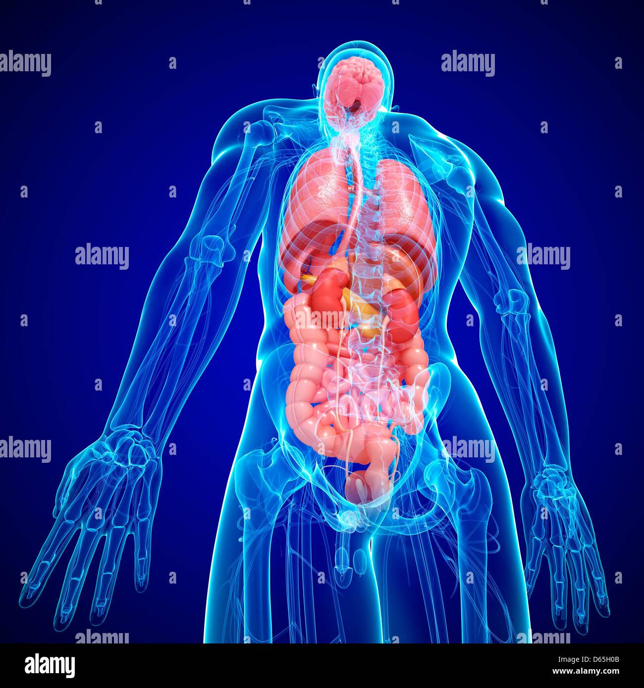 Pancreas And Kidney Stockfotos & Pancreas And Kidney Bilder - Alamy