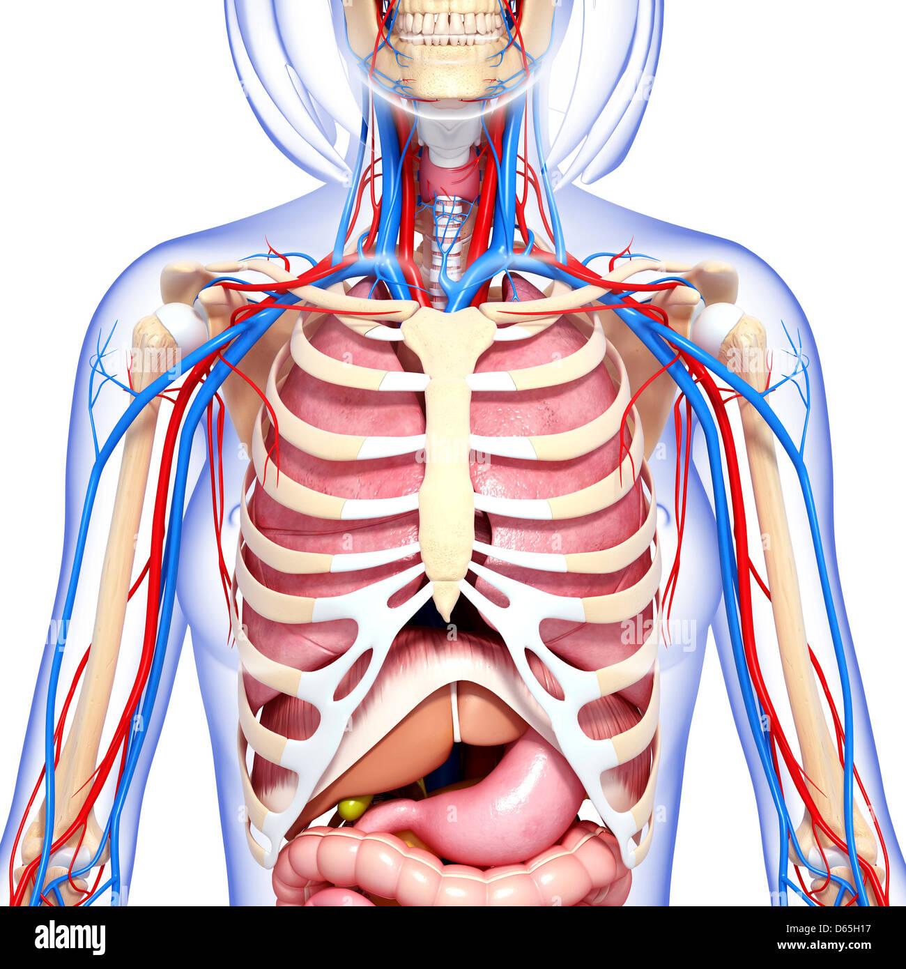Beste Weibliche Scham Anatomie Bilder - Menschliche Anatomie Bilder ...
