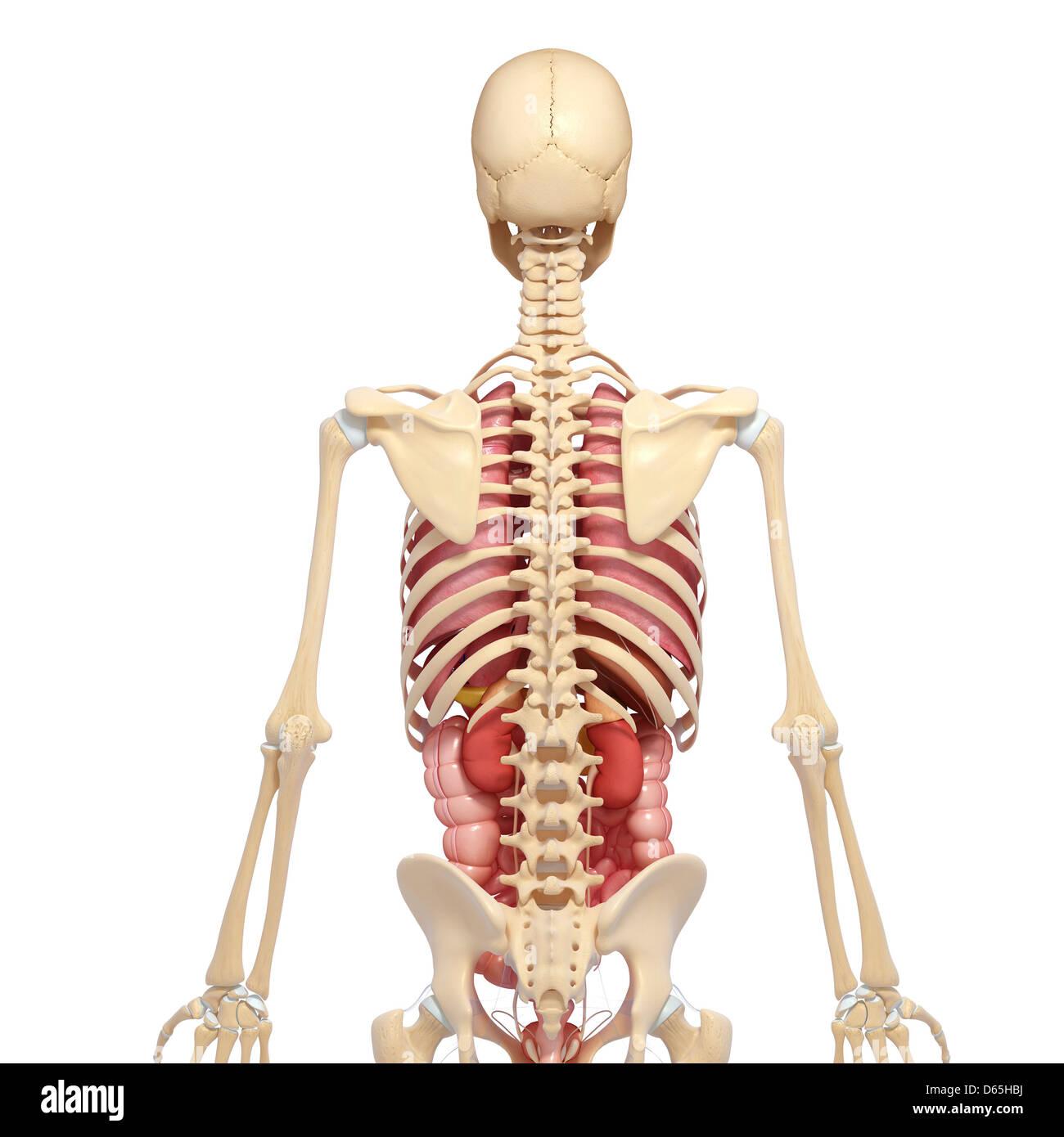 Beste Flanke Menschliche Anatomie Bilder - Anatomie Von Menschlichen ...