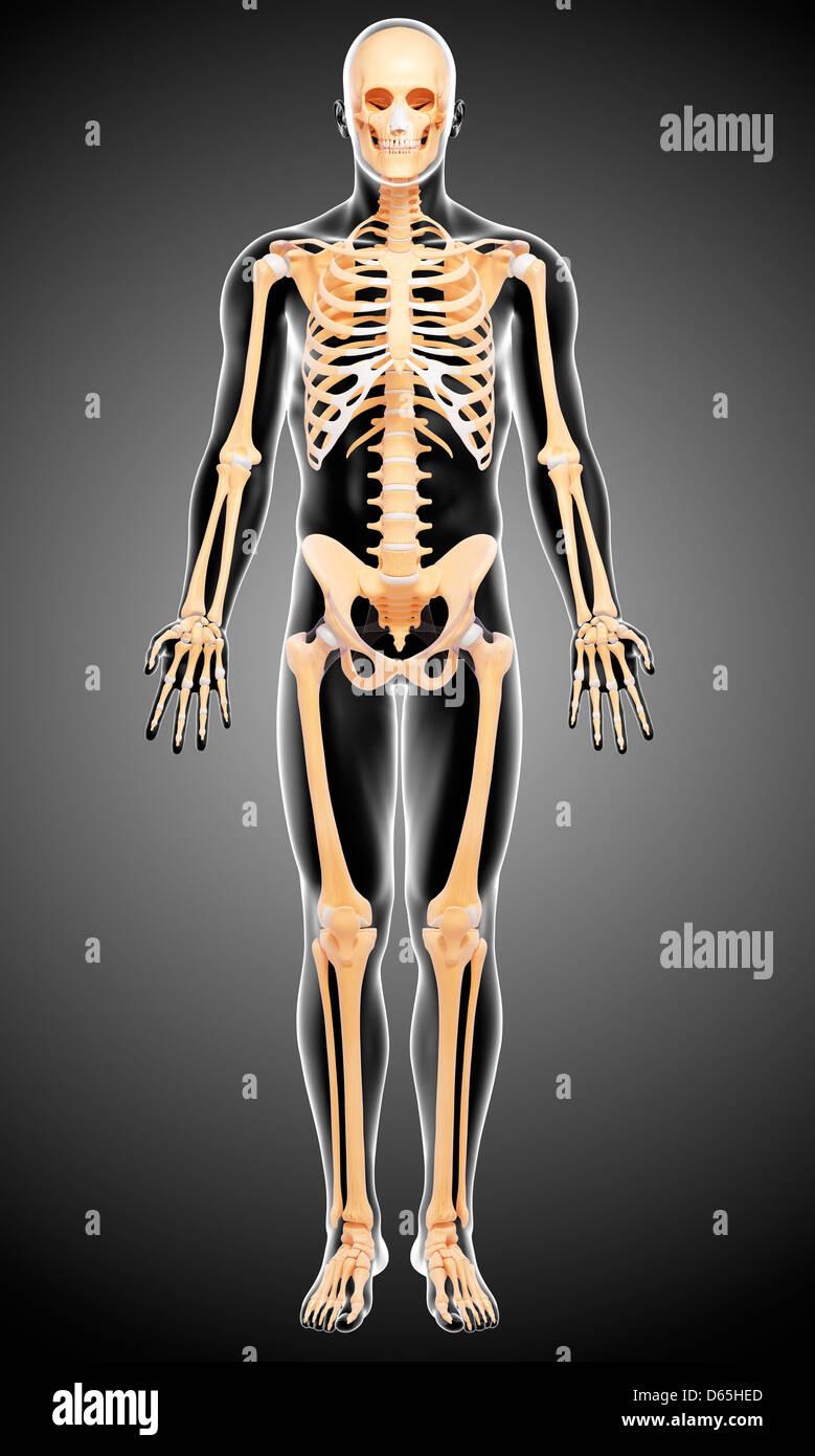 Menschliches Skelett, Kunstwerk Stockfoto, Bild: 55442533 - Alamy