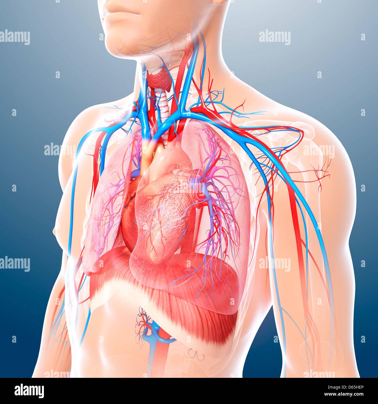 Tolle Brust Anatomie Und Physiologie Pdf Fotos - Menschliche ...