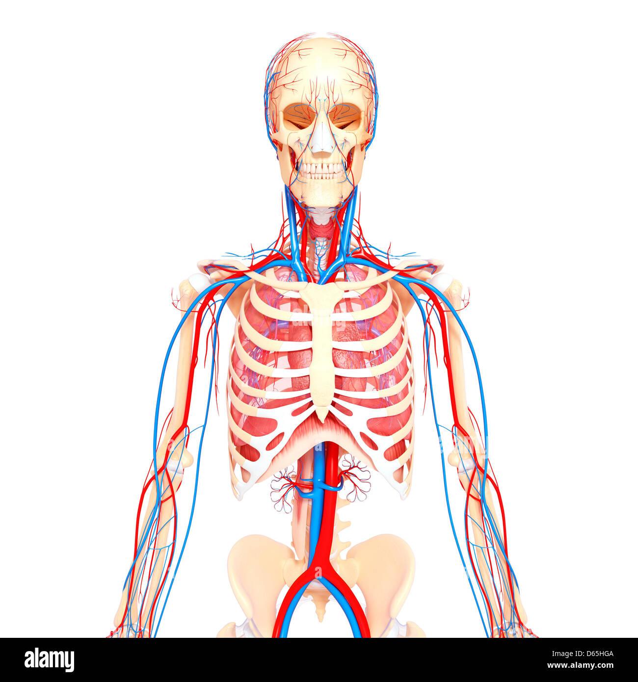 Ziemlich Anatomie Brustkorb Organe Fotos - Anatomie Ideen - finotti.info