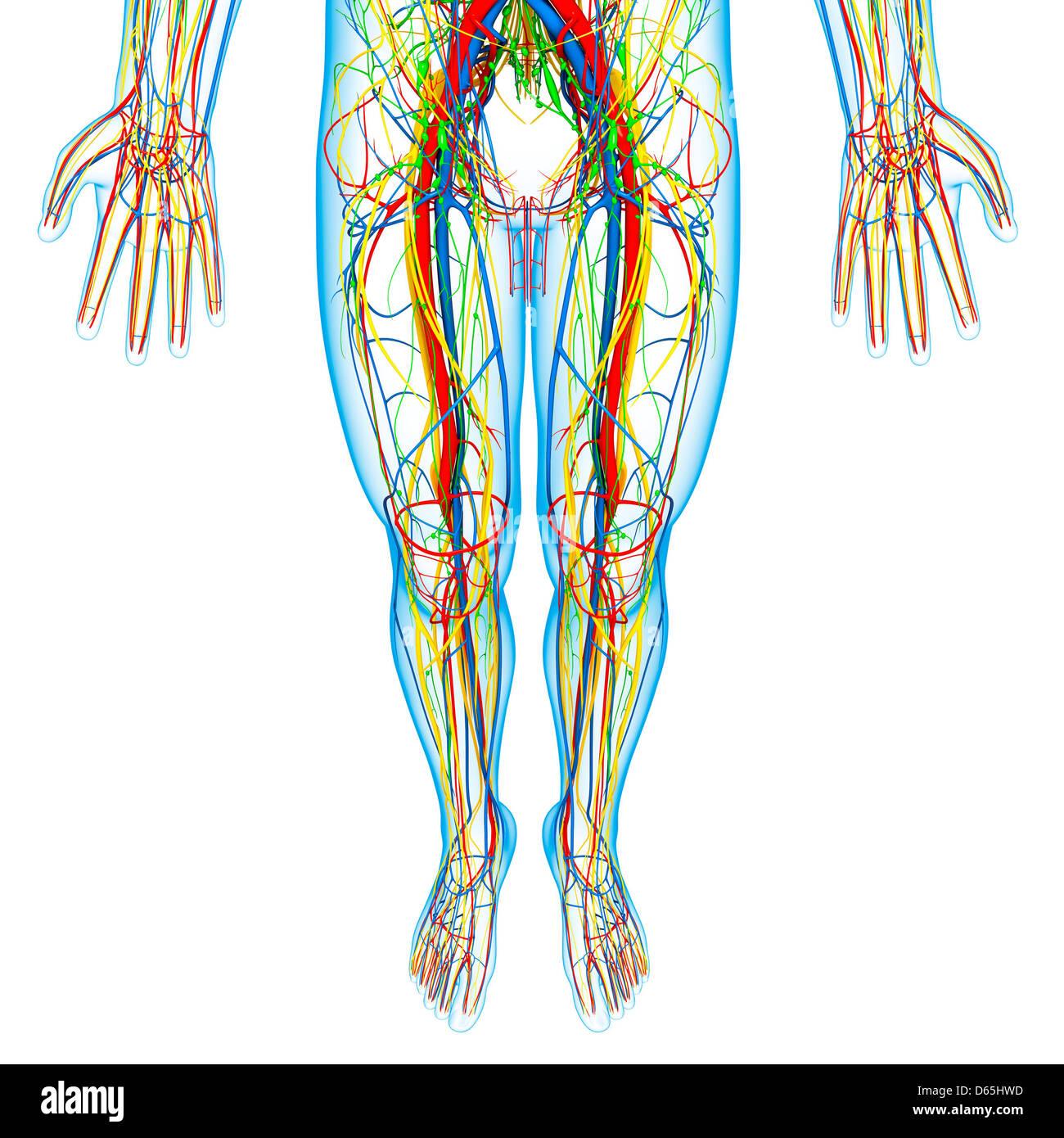 Unteren Körper Anatomie, artwork Stockfoto, Bild: 55442841 - Alamy