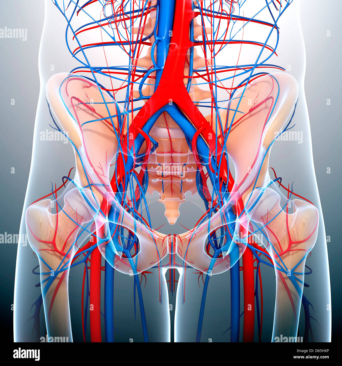 Becken-Anatomie, artwork Stockfoto, Bild: 55442878 - Alamy
